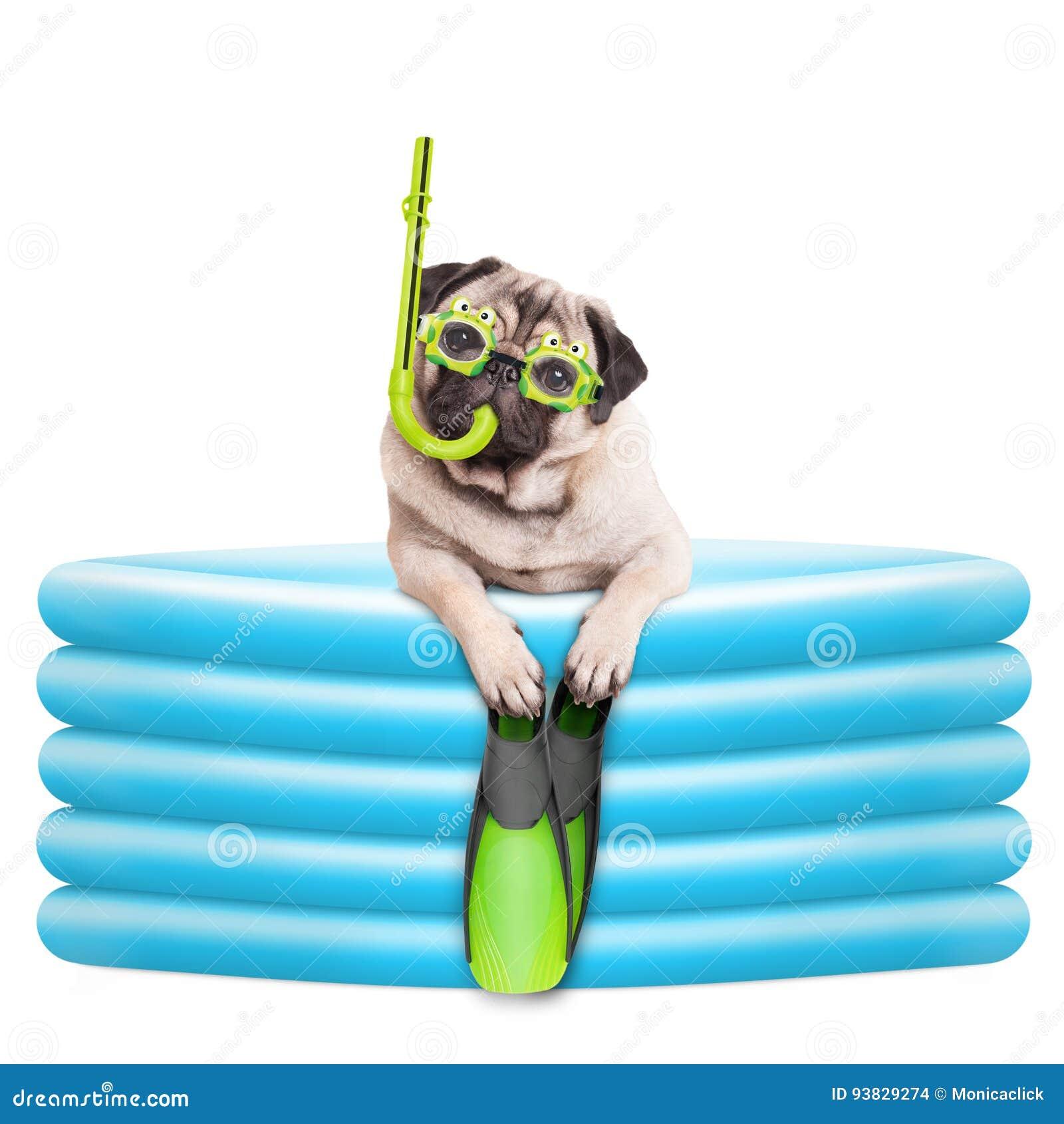 与风镜、废气管和鸭脚板的滑稽的summerly哈巴狗狗在可膨胀的水池