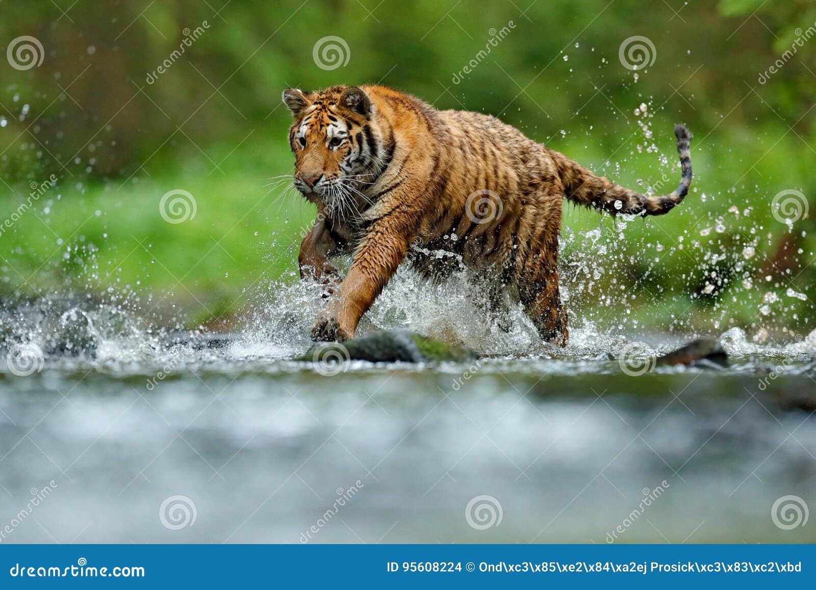 与飞溅河水的老虎 老虎行动野生生物场面,野生猫,自然栖所 连续老虎水 危险动物, tajga