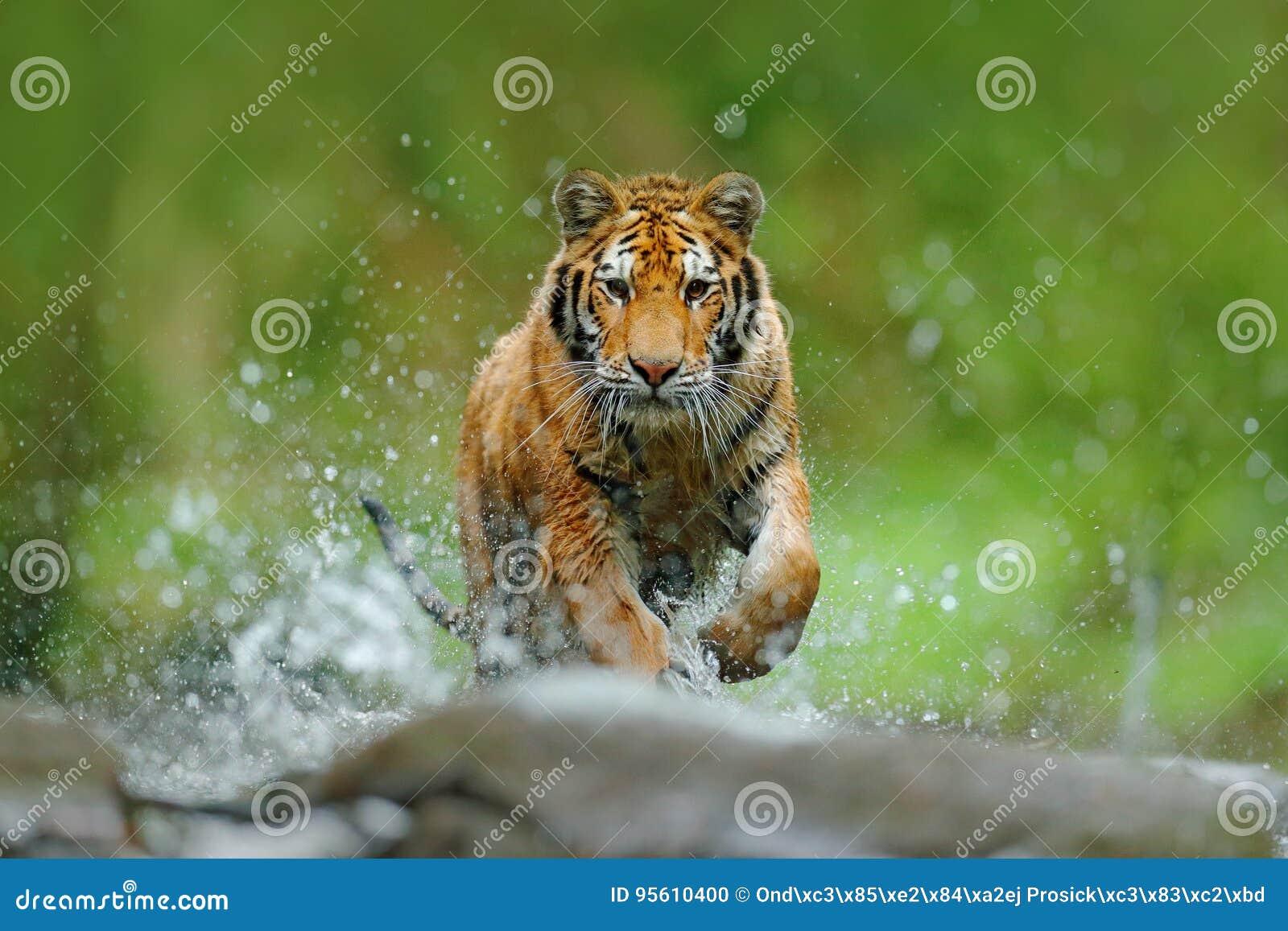 与飞溅河水的老虎 行动与野生猫的野生生物场面在自然栖所 跑在水中的老虎 危险动物, t
