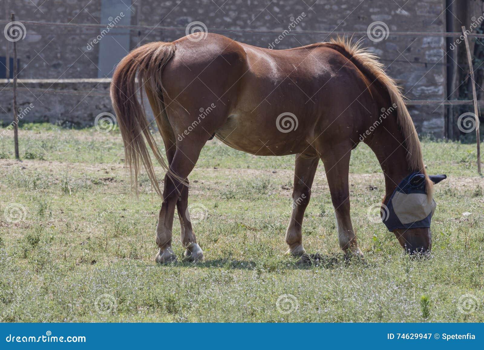 与马眼罩的马在农场
