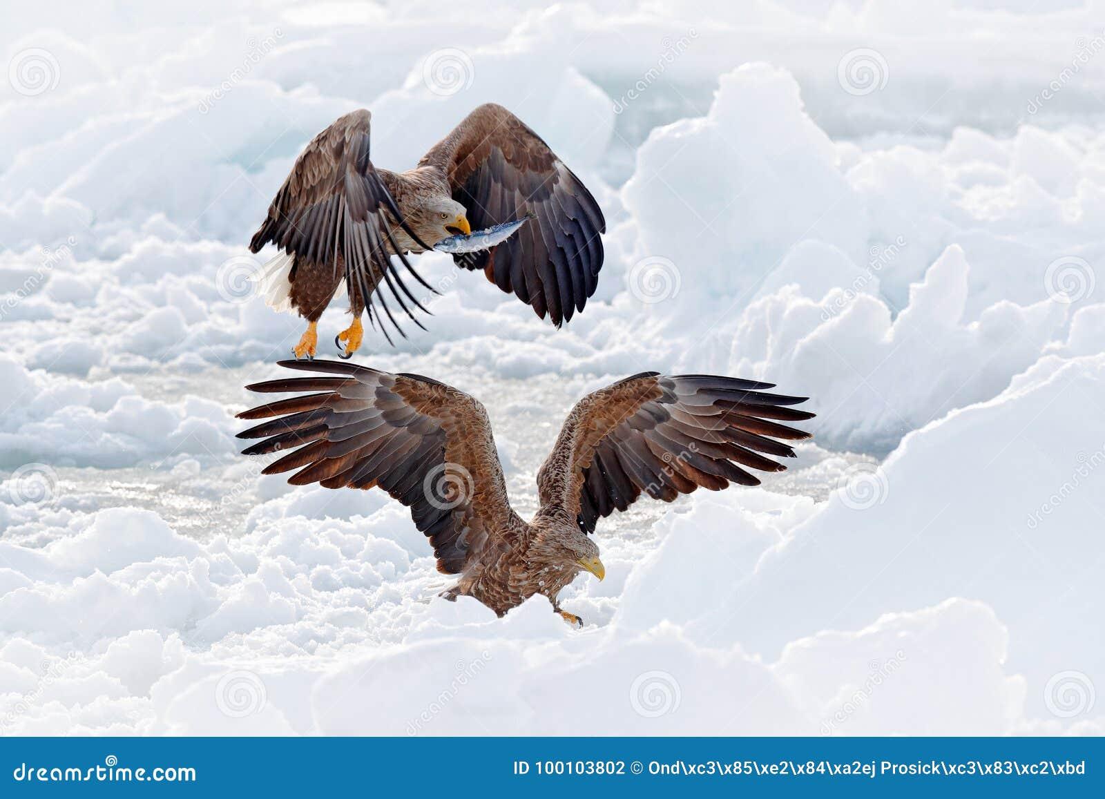 与鱼的老鹰战斗 与两鸷的冬天场面 大老鹰,雪海 飞行白被盯梢的老鹰, Haliaeetus albicilla,