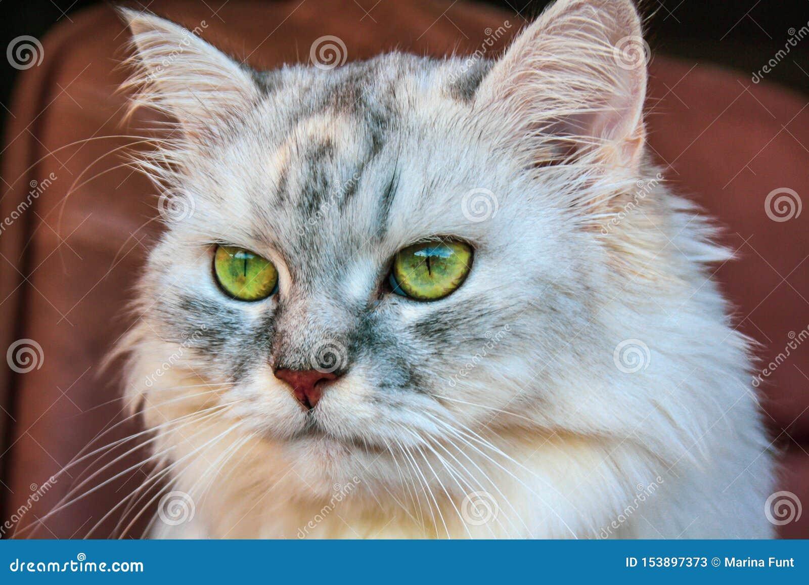 与鲜绿色的眼睛的大蓬松西伯利亚猫