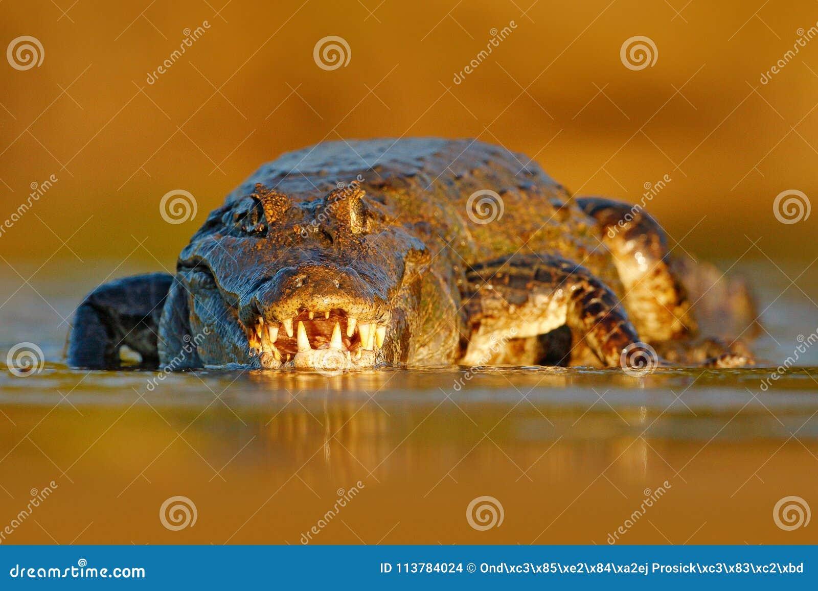 与鳄鱼的晚上光 Yacare凯门鳄,鳄鱼画象在与开放枪口,大牙,潘塔纳尔湿地,巴西的水中 STI