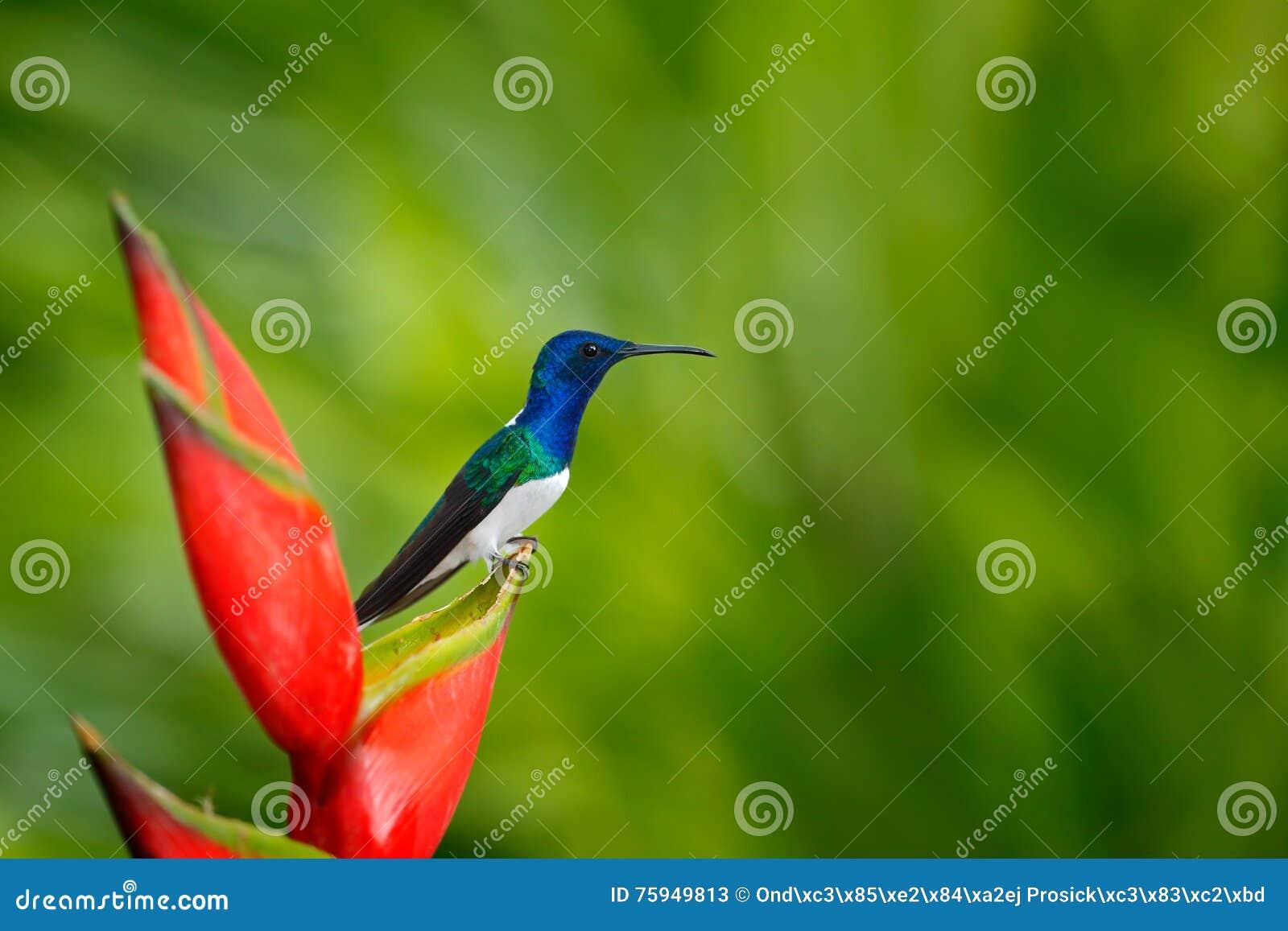 与鸟和花的美好的场面在狂放的自然 蜂鸟白收缩的Jacobin坐美丽的红色花heliconia wi