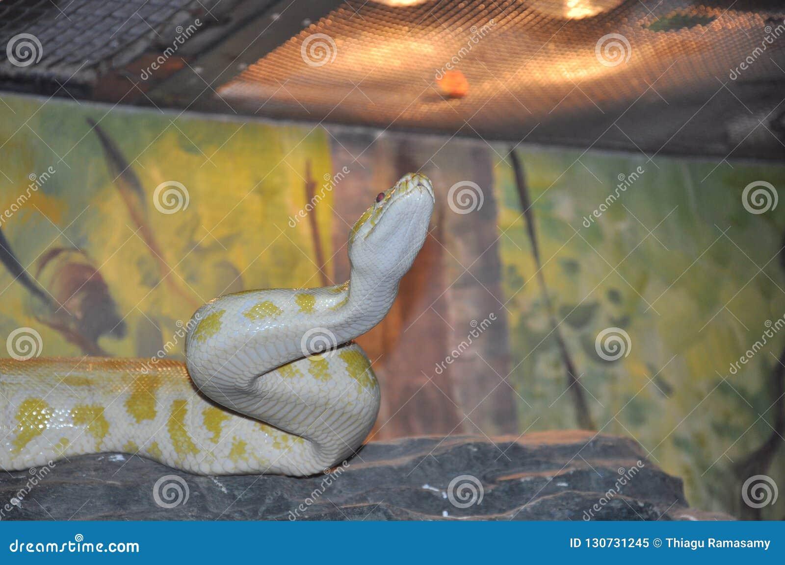 与黄斑的白色Python