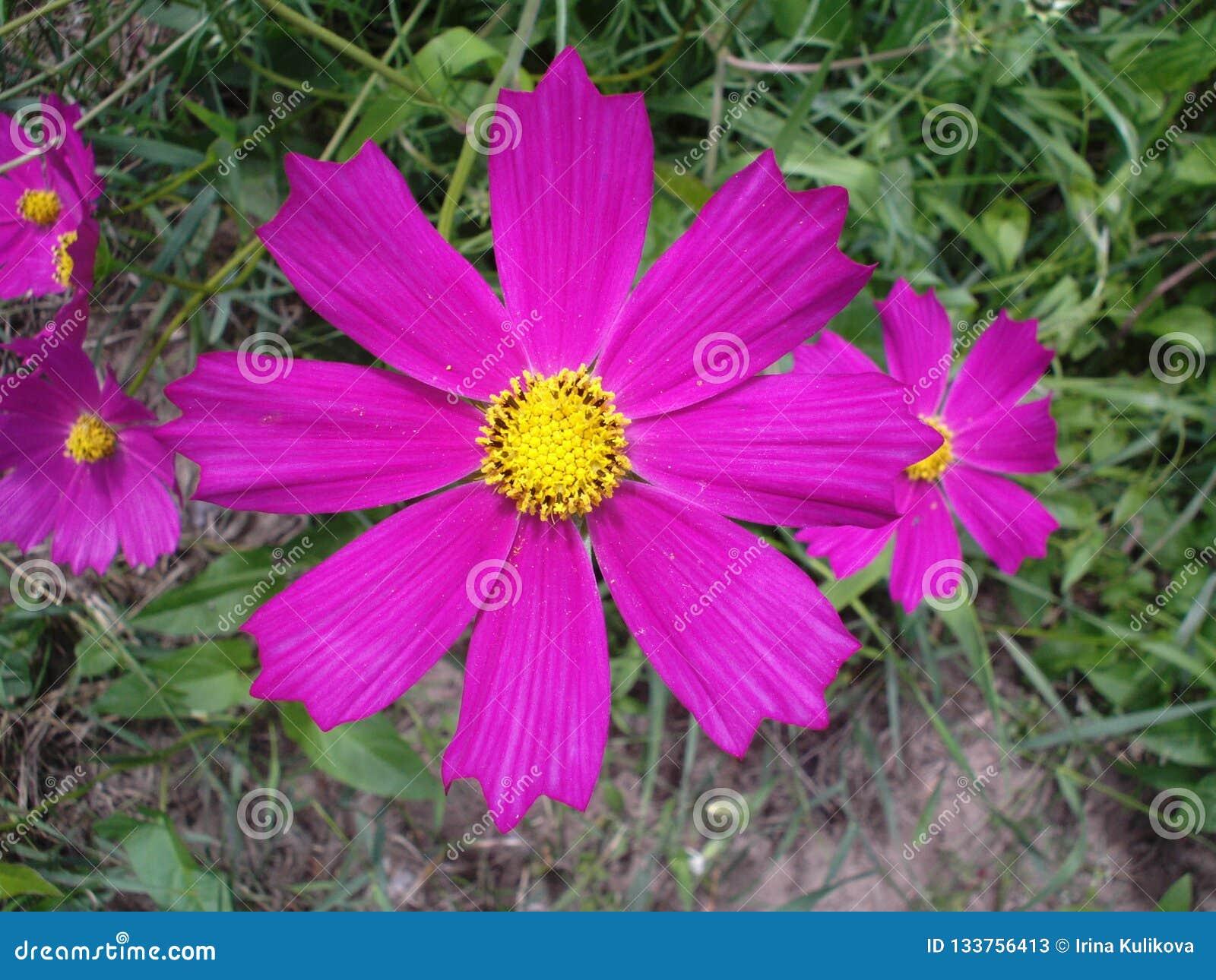 与黄色中心的淡紫色kosmeya花在草背景