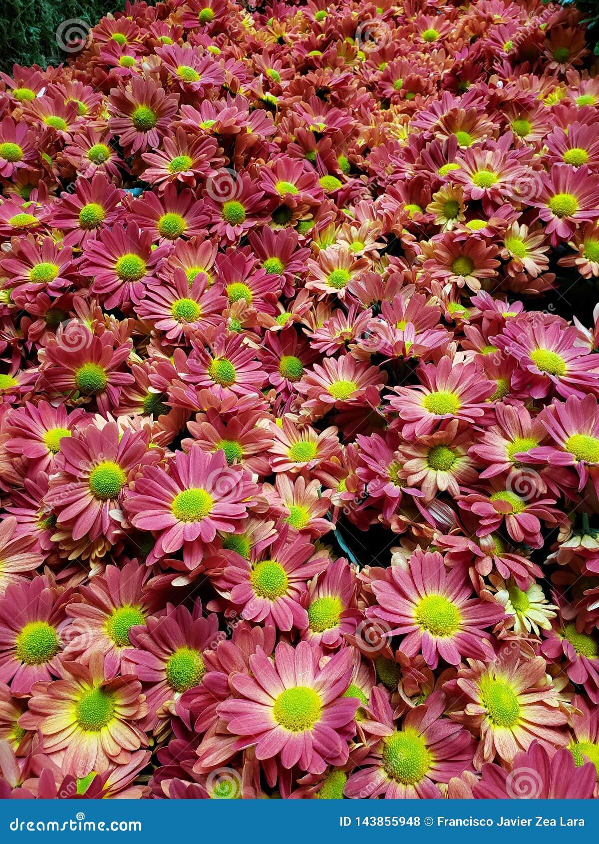 与黄色的紫色雏菊花在植物园、背景和纹理里