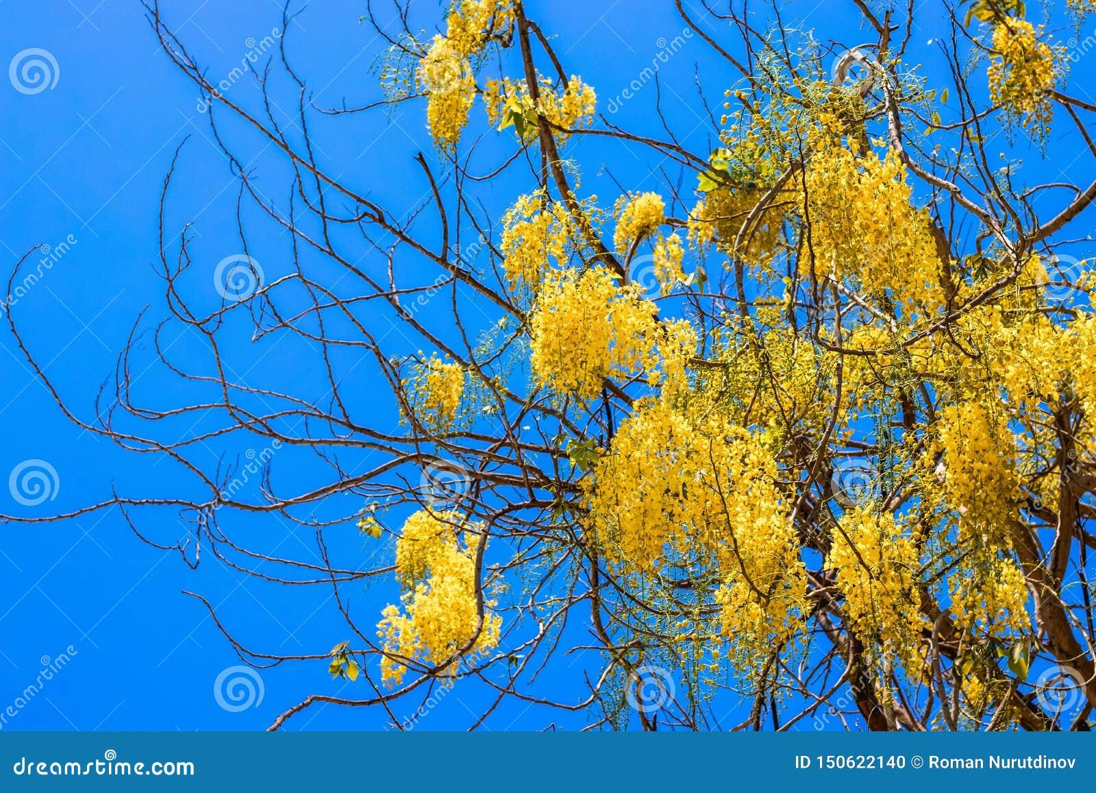 与黄色花的树反对天空