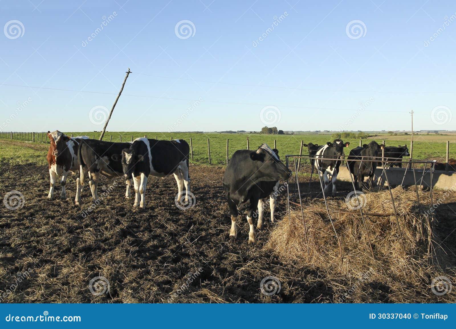 与黑和棕色污点的母牛在美国g