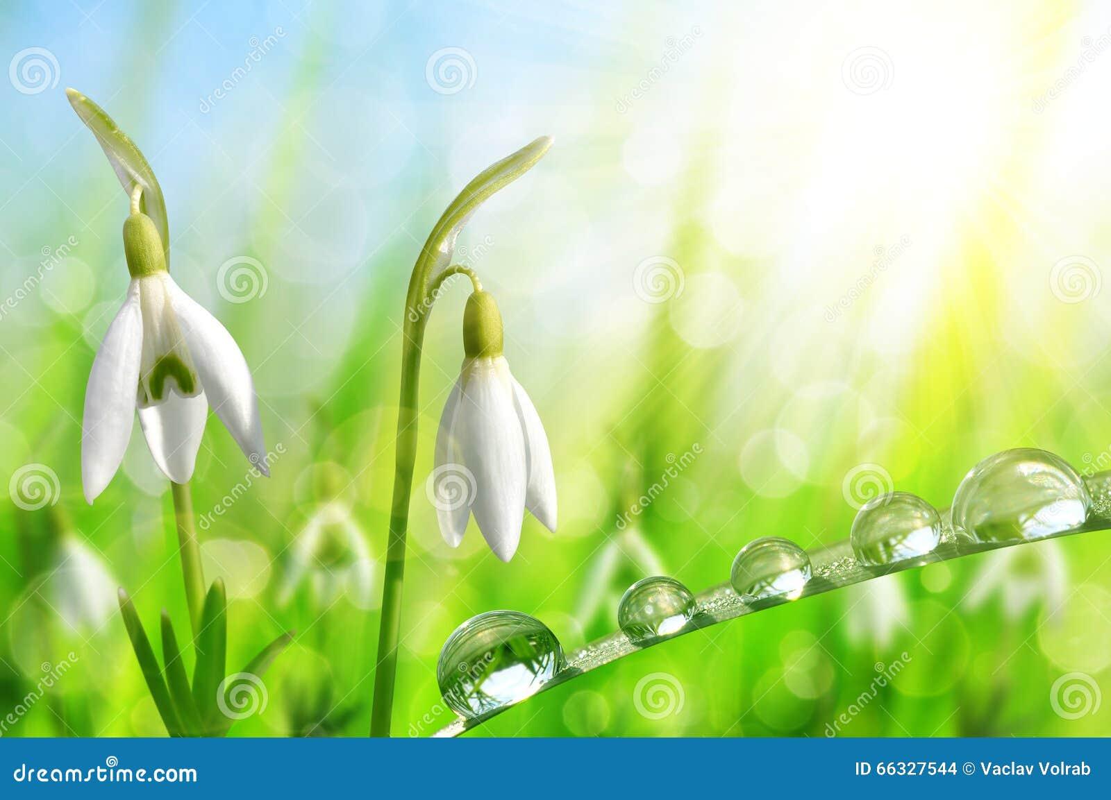 与满地露水的草的Snowdrop花