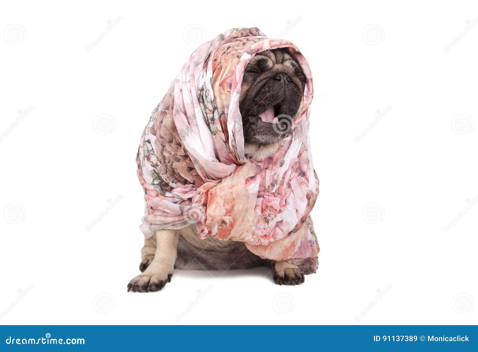 与头巾的滑稽的逗人喜爱的哈巴狗小狗下来打呵欠,被隔绝坐白色背景