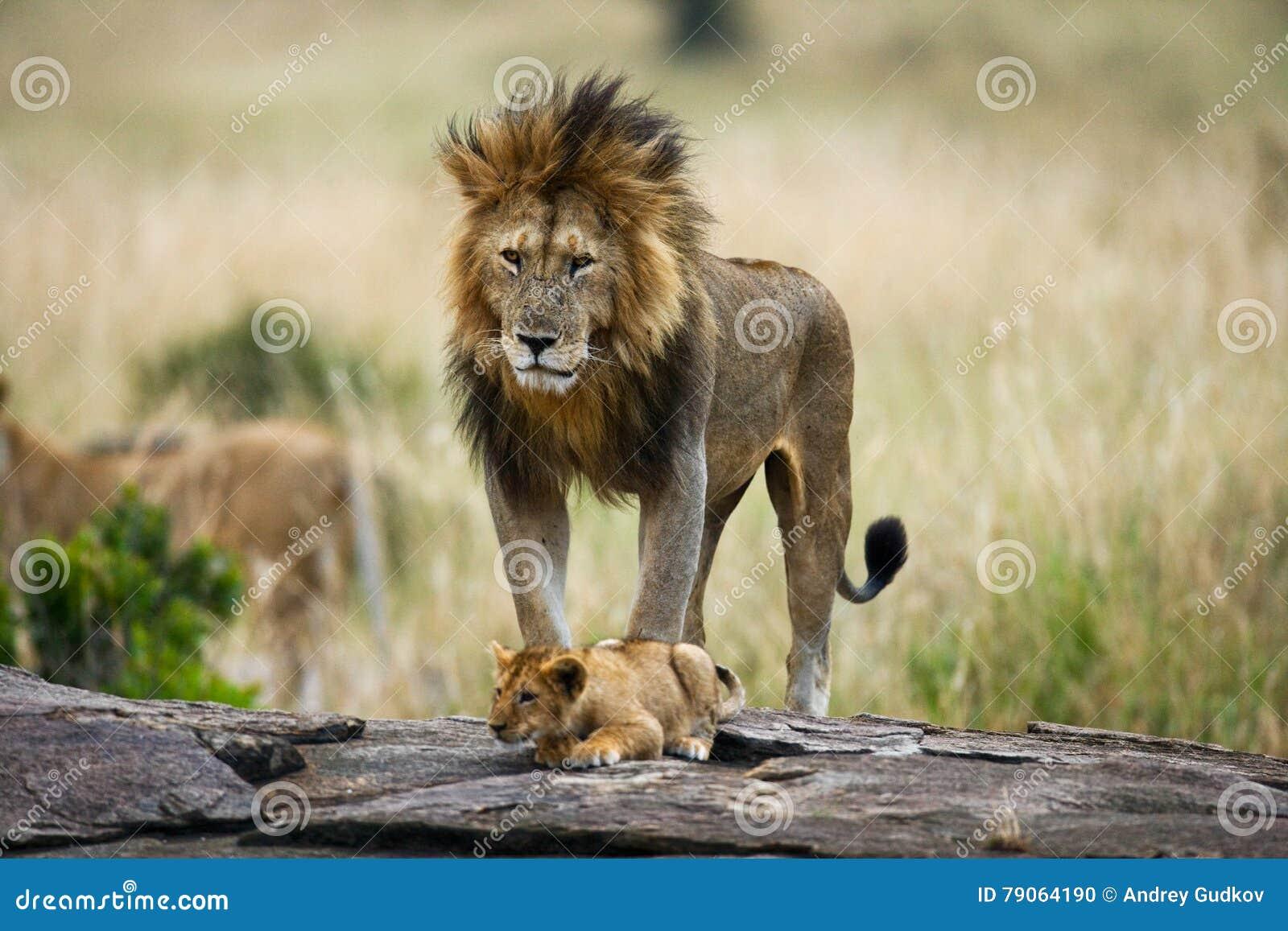 与崽的大公狮子 国家公园 肯尼亚 坦桑尼亚 mara马塞语 serengeti