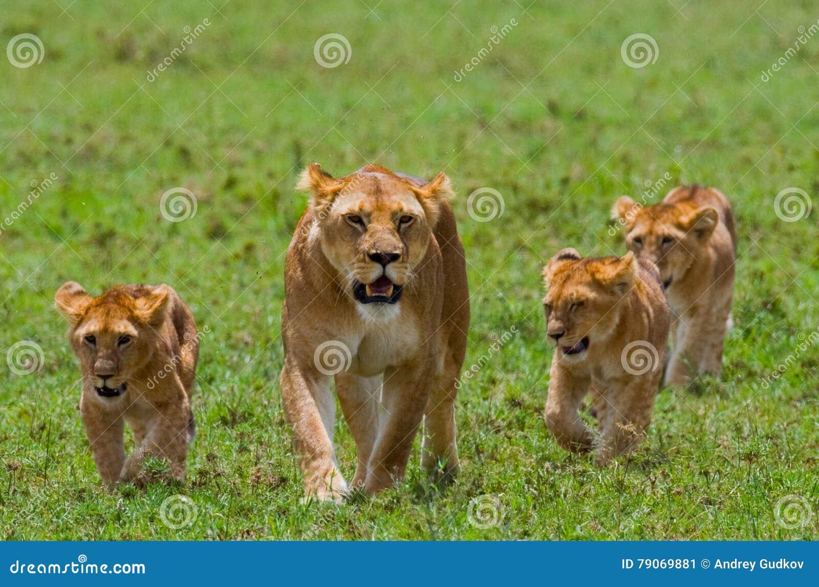 与崽的雌狮在大草原 国家公园 肯尼亚 坦桑尼亚 mara马塞语 serengeti