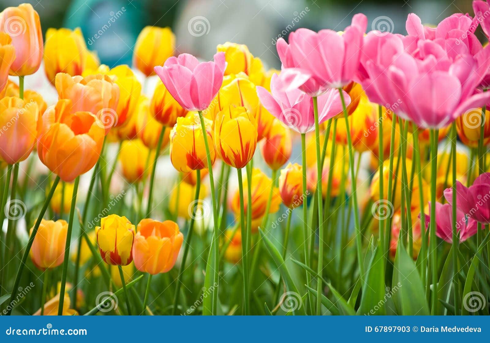 与绿色叶子的黄色,桃红色,橙色新鲜的郁金香