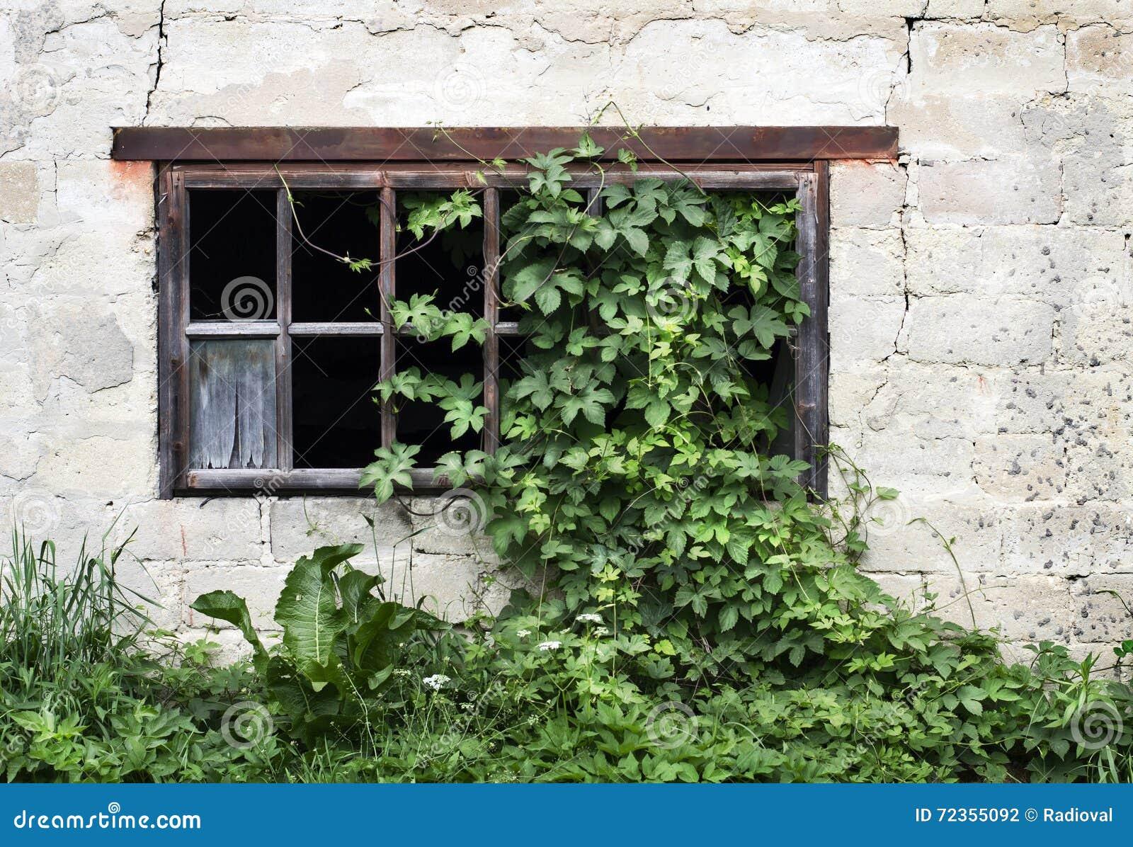 与绿色常春藤的老木窗口