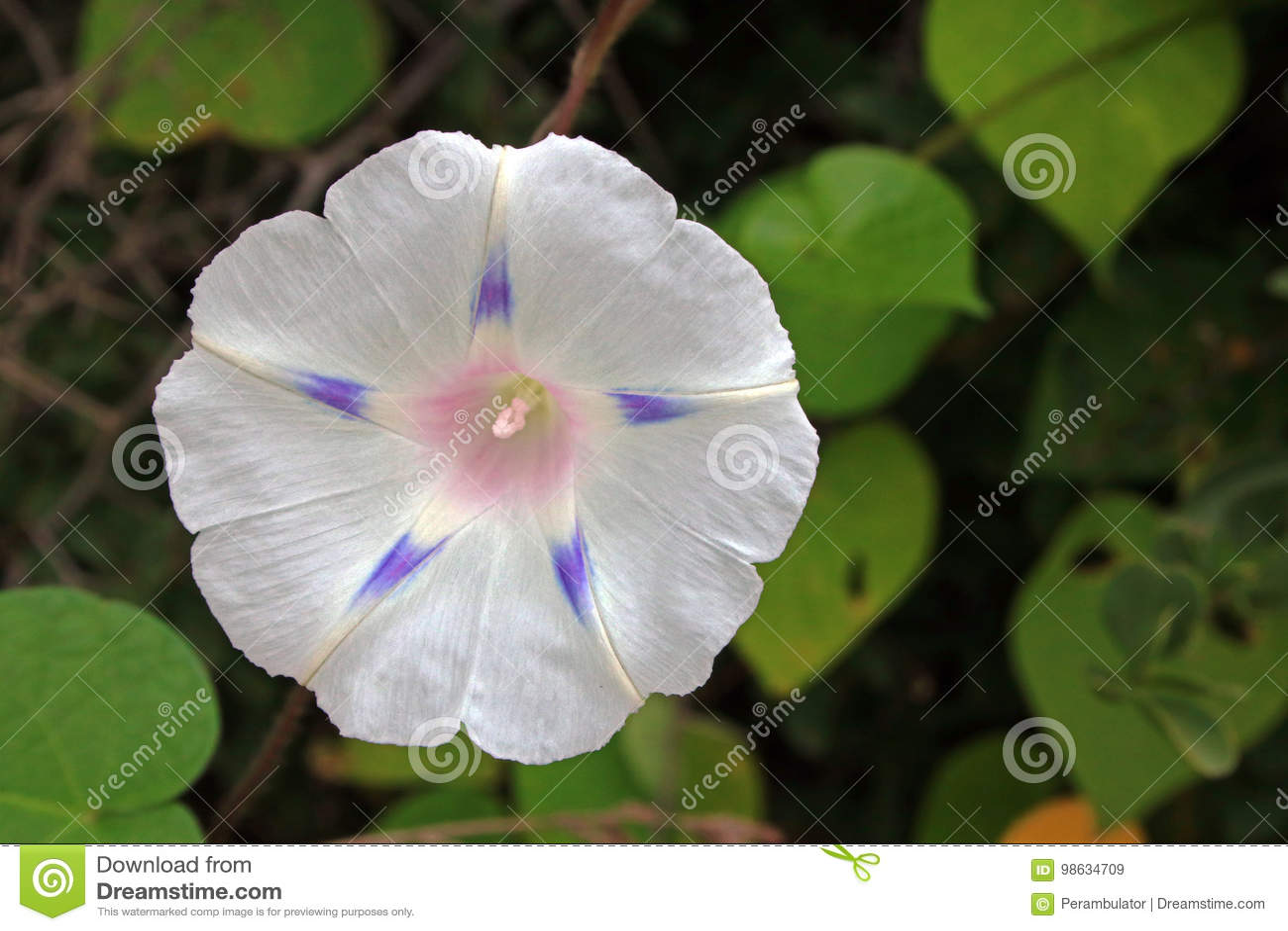 与紫色斑点的白色牵牛花