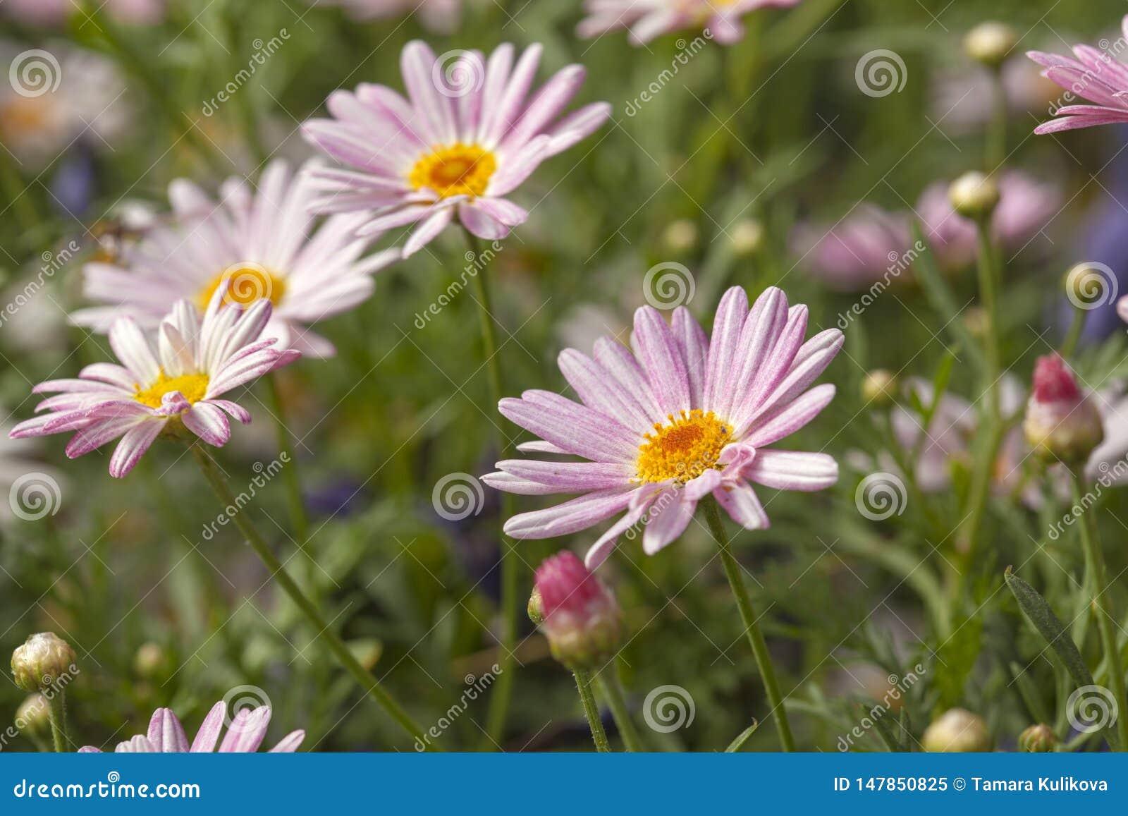 与canarian延命菊雏菊的花卉背景