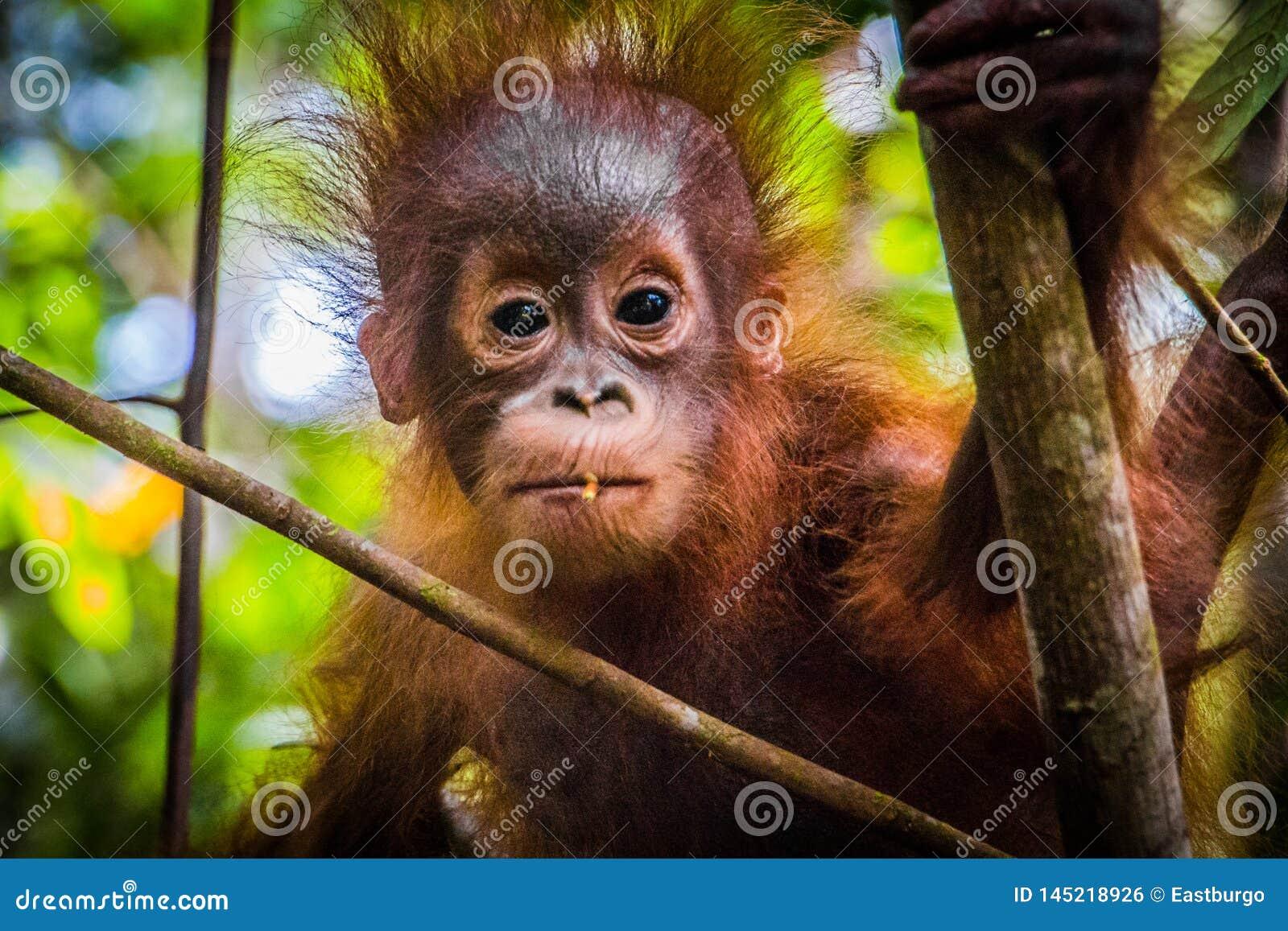 世界的最逗人喜爱的小猩猩调查照相机在婆罗洲