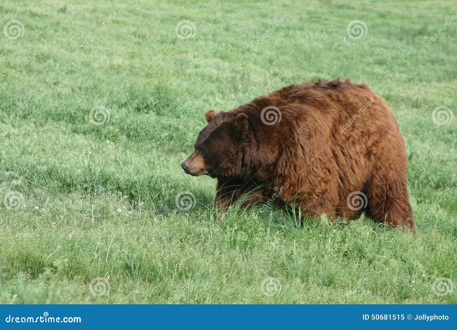 Download 世界纪录肥胖北美灰熊 库存图片. 图片 包括有 北部, 牺牲者, 搜索, browne, 危险, 怀俄明 - 50681515
