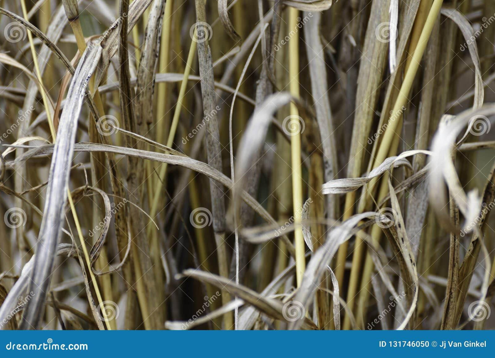 丛Rough Dry黄色盖的草hyperthelia dissoluta特写镜头