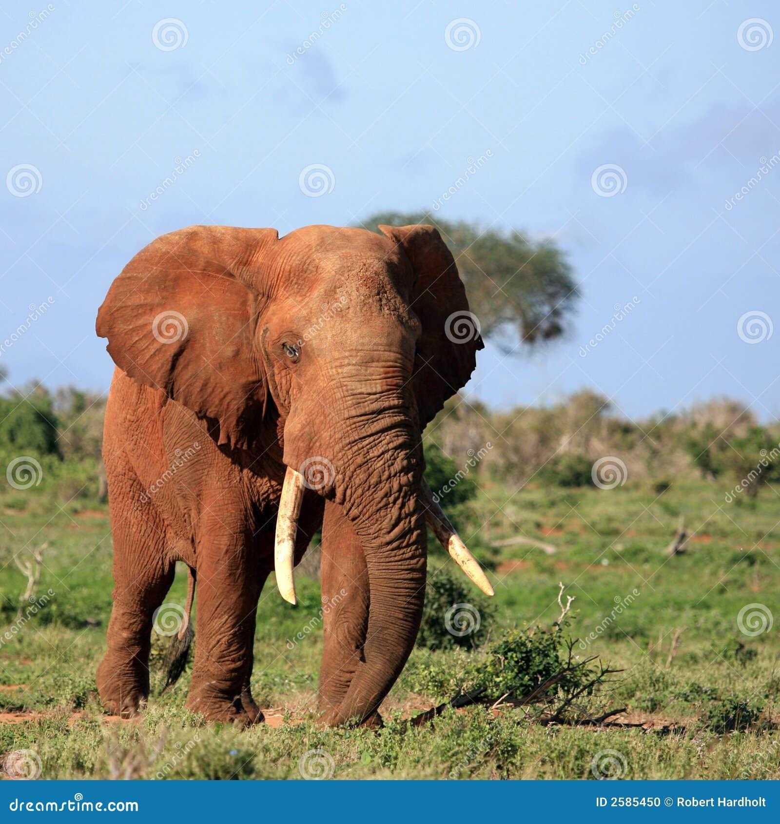 东部大象肯尼亚红色tsavo