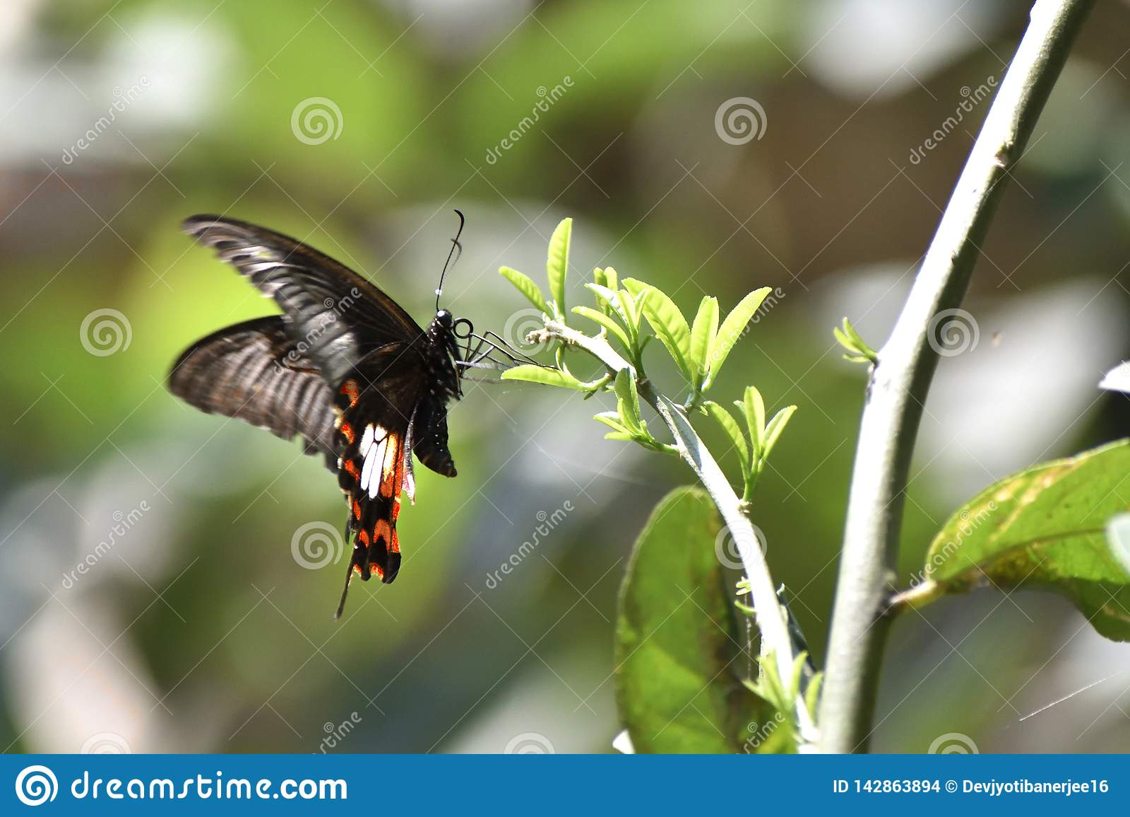 东部老虎Swallowtail蝴蝶,黑蝴蝶,Swallowtail蝴蝶