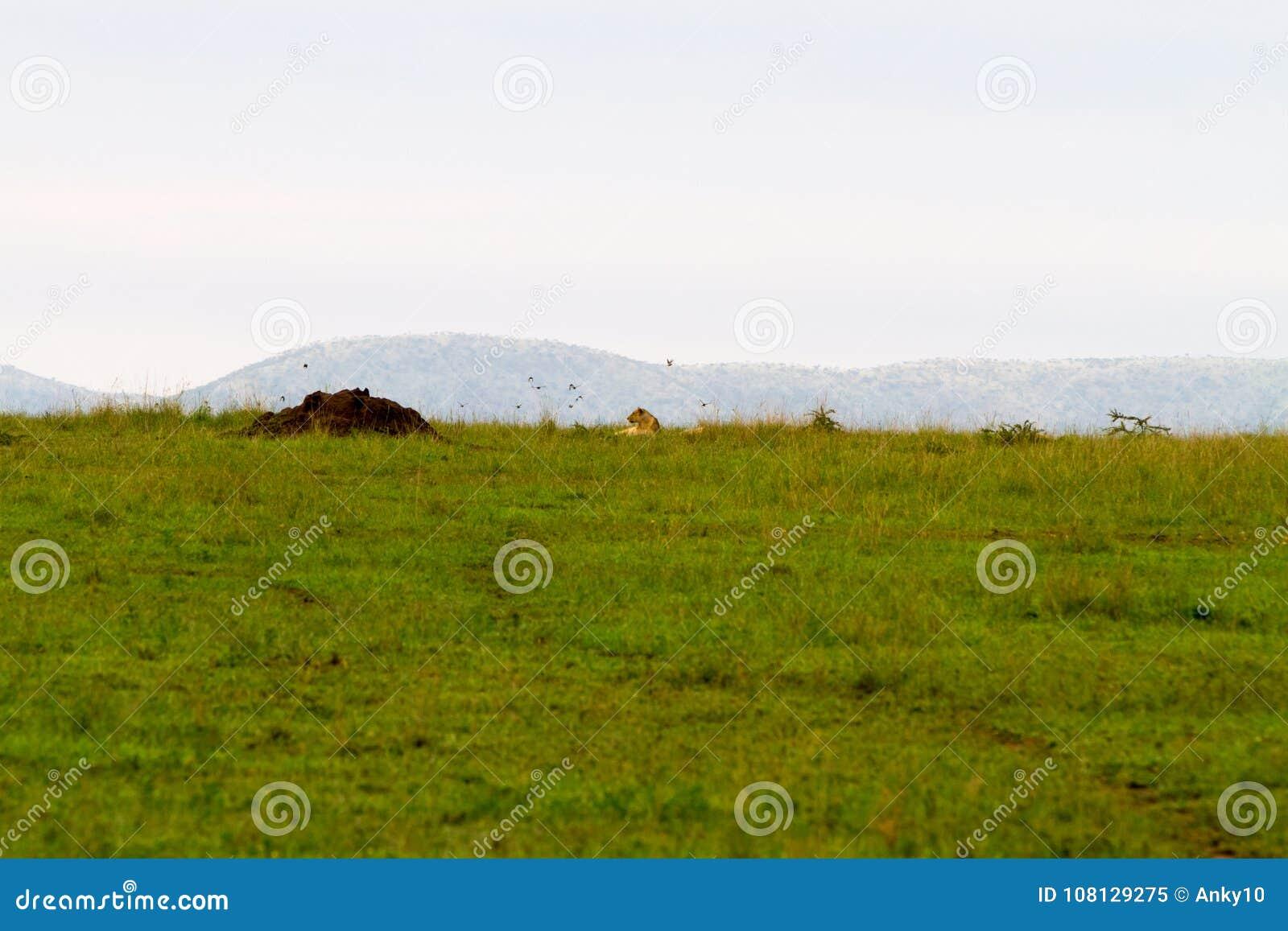 东部非洲雌狮豹属利奥在塞伦盖蒂