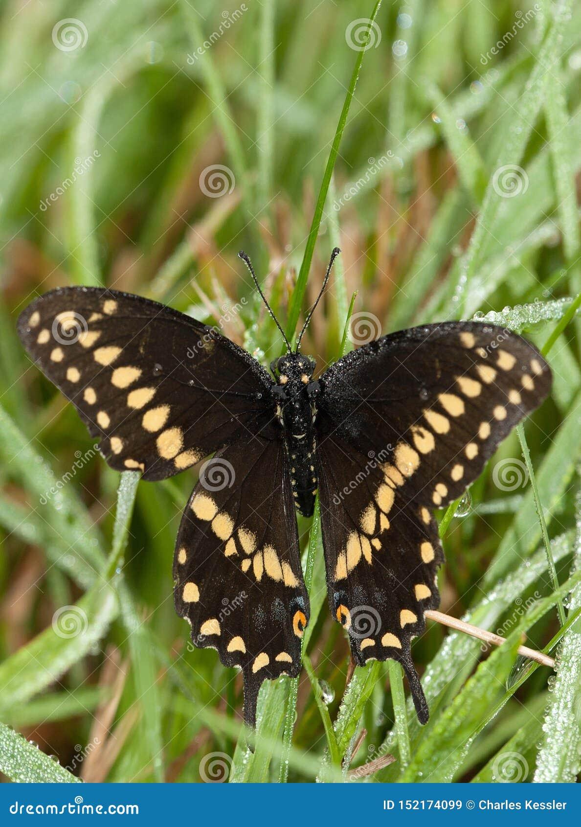 东部黑Swallowtai蝴蝶在露水被盖的草下来