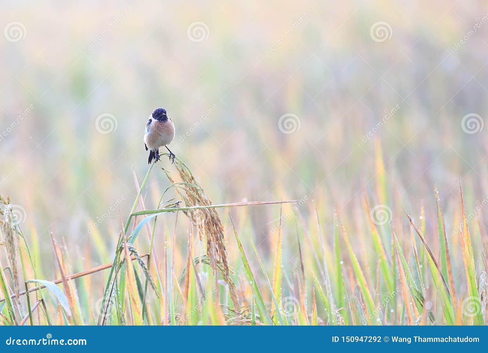 东Stonechat是冬天访客鸟到泰国