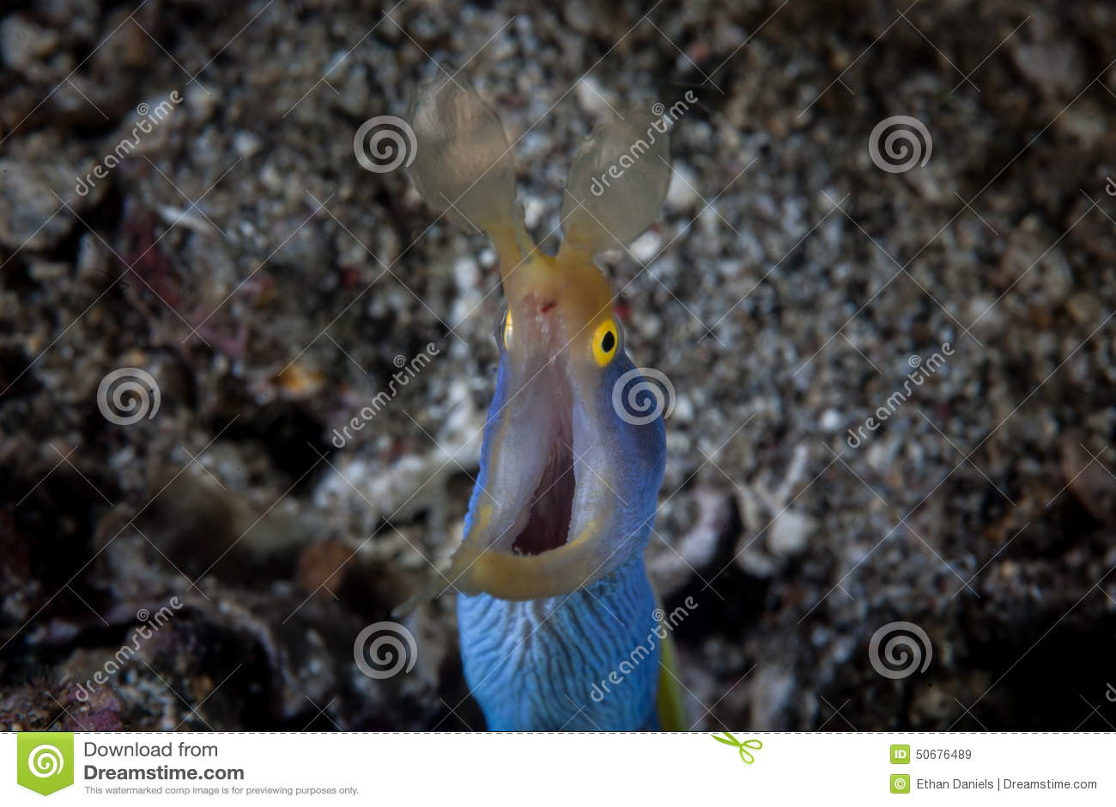 Download 丝带鳗鱼面孔 库存图片. 图片 包括有 敌意, 飞蛾, 传记, 生态, 鳗鱼, 潜水, 印度尼西亚, 海洋 - 50676489