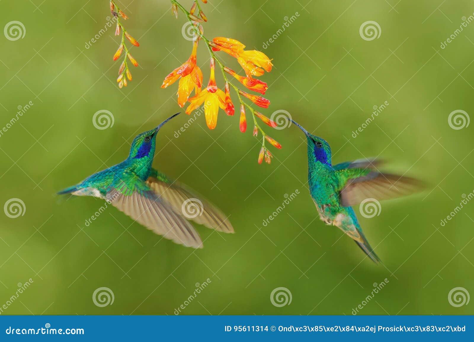两与橙色花的鸟 绿色蜂鸟绿化紫罗兰色耳朵, Colibri thalassinus,飞行在美丽的黄色花旁边, Sav
