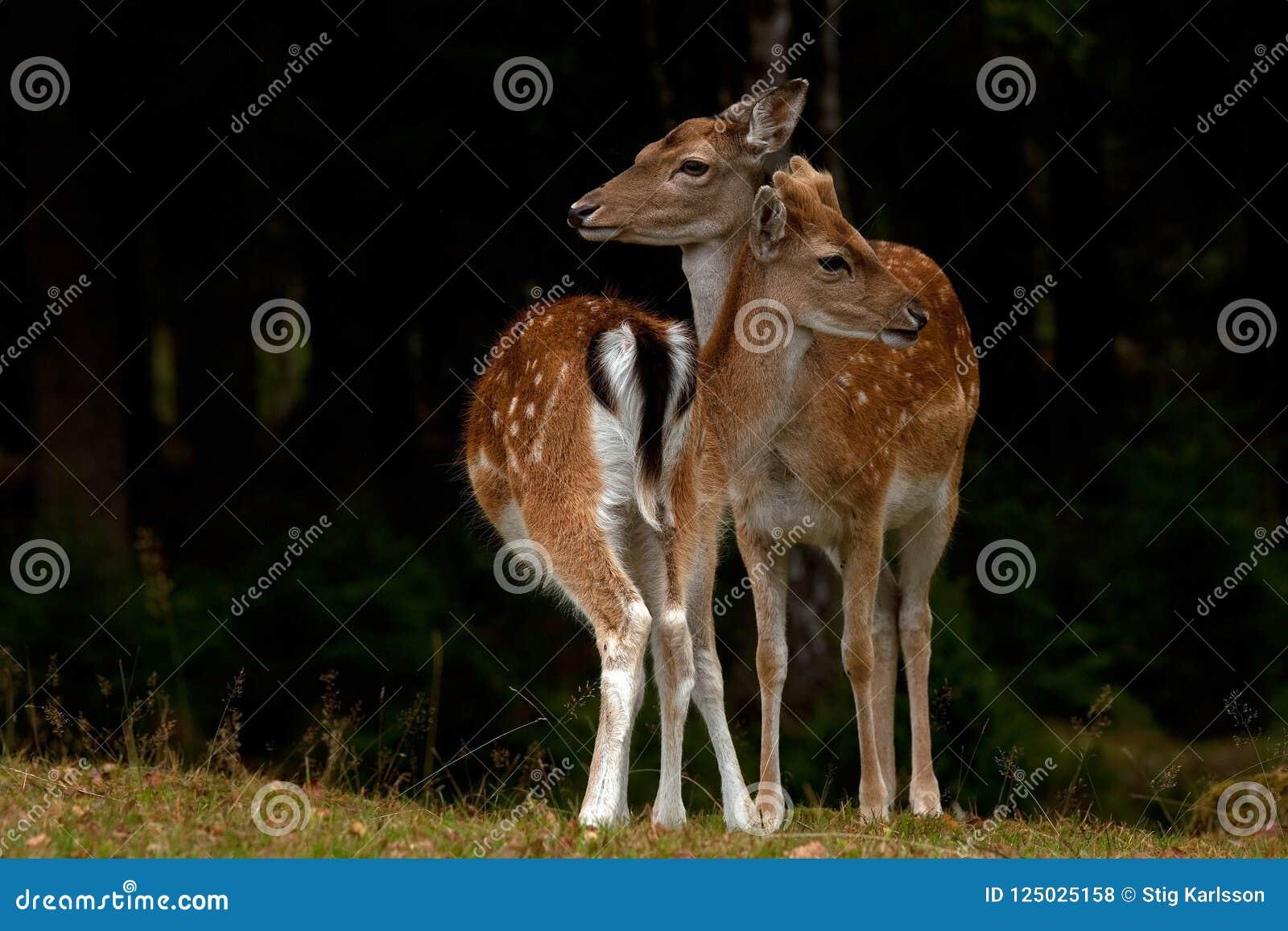 两个年轻人小鹿、一个男性和女性1年小鹿在一个森林里在瑞典