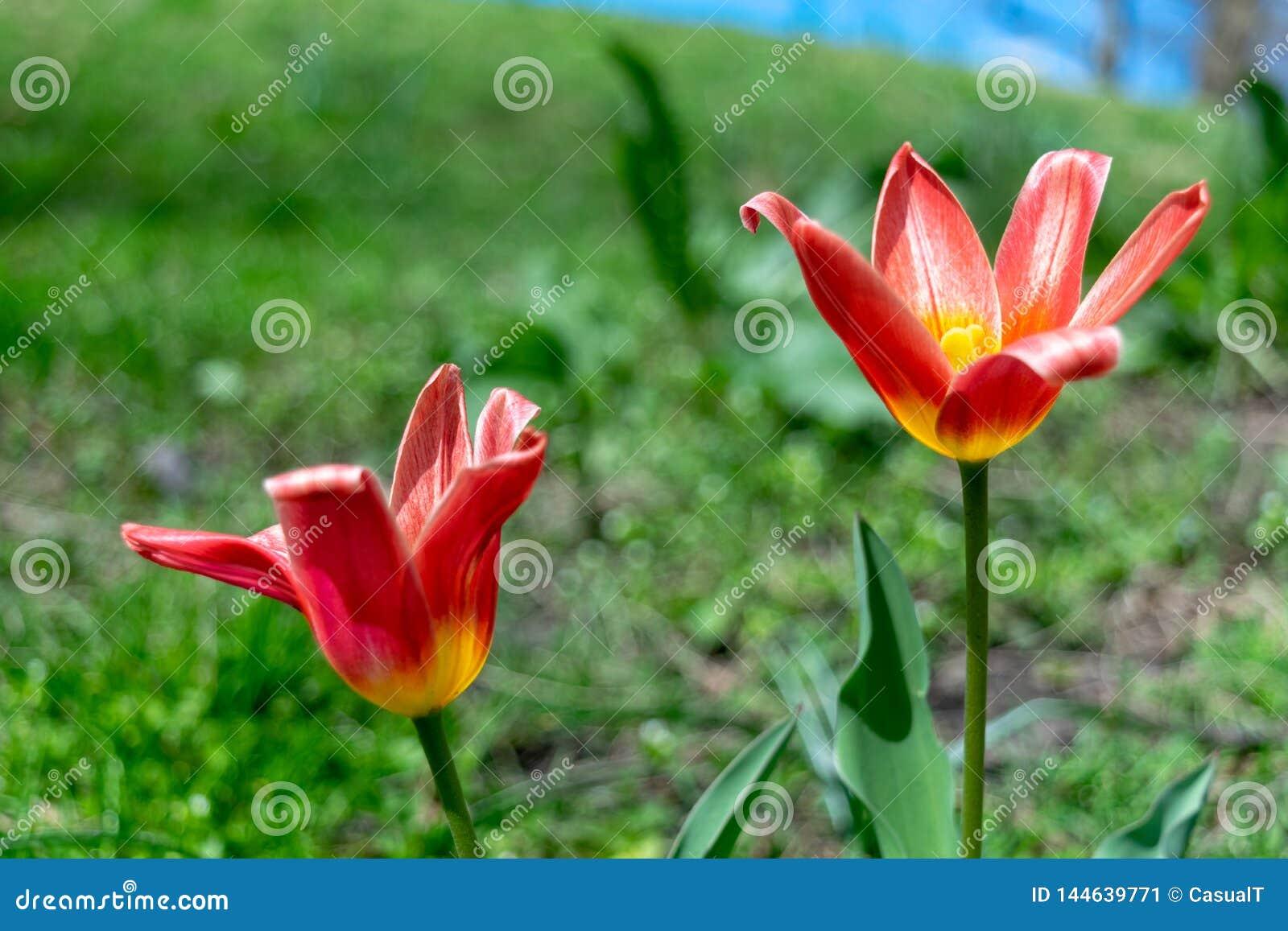 两个美丽的红色和黄色百合在豪华的绿草中在早期的春天开花,在一温暖的天