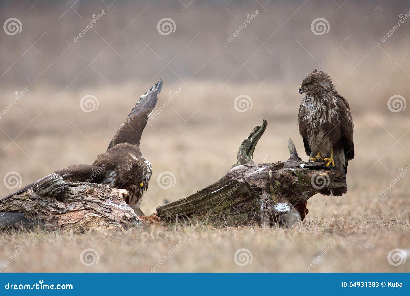 两共同的肉食(鵟鸟鵟鸟)在冬天