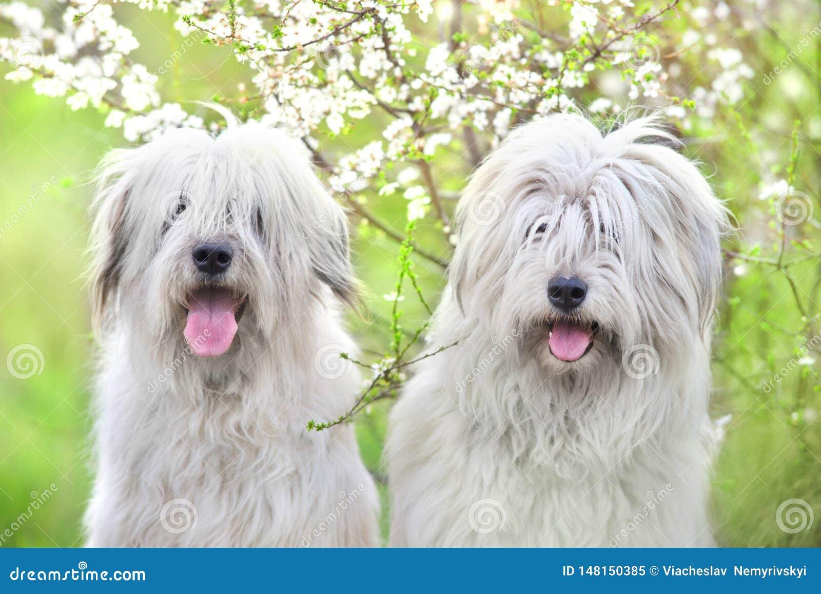 两南俄国护羊狗