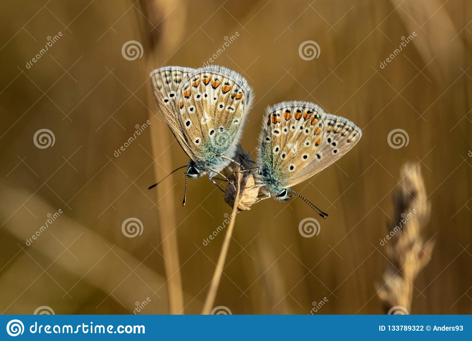 两只共同的蓝色蝴蝶polyommatus基于gr的艾卡罗计