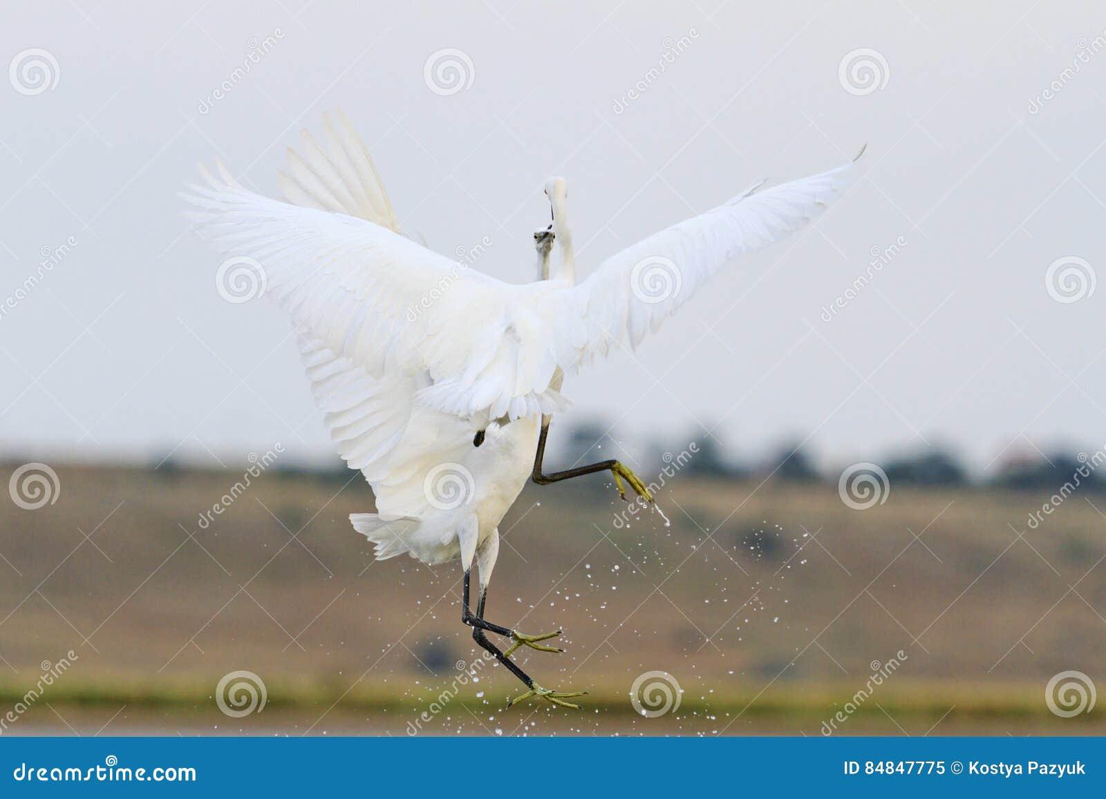 两只在飞行中白色鸟战斗面孔