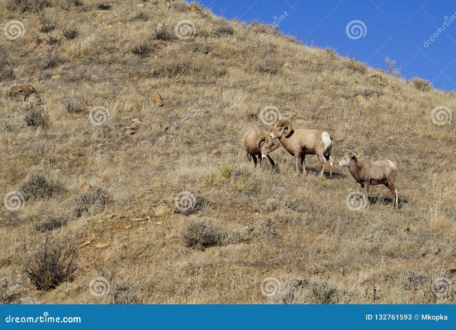 两只大角野绵羊公羊开始在母羊绵羊观看的一次战斗