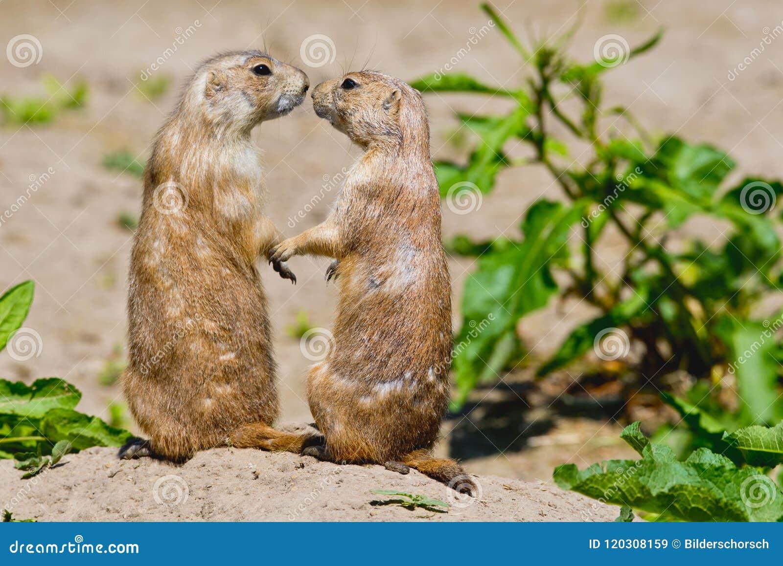 两只草原土拨鼠互相给一个亲吻