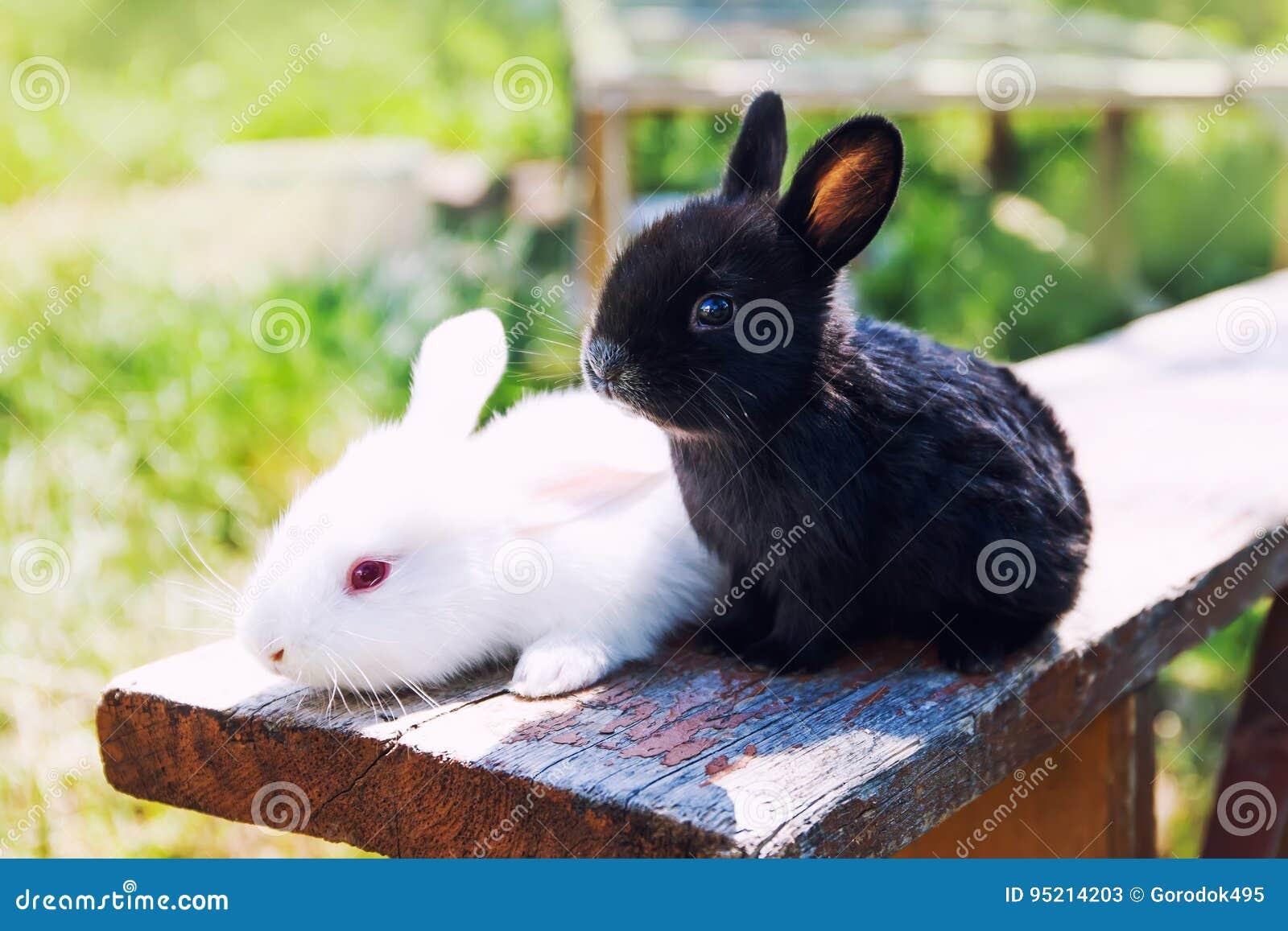 两只蓬松黑白色兔子 复活节兔子概念 特写镜头,浅景深,选择聚焦