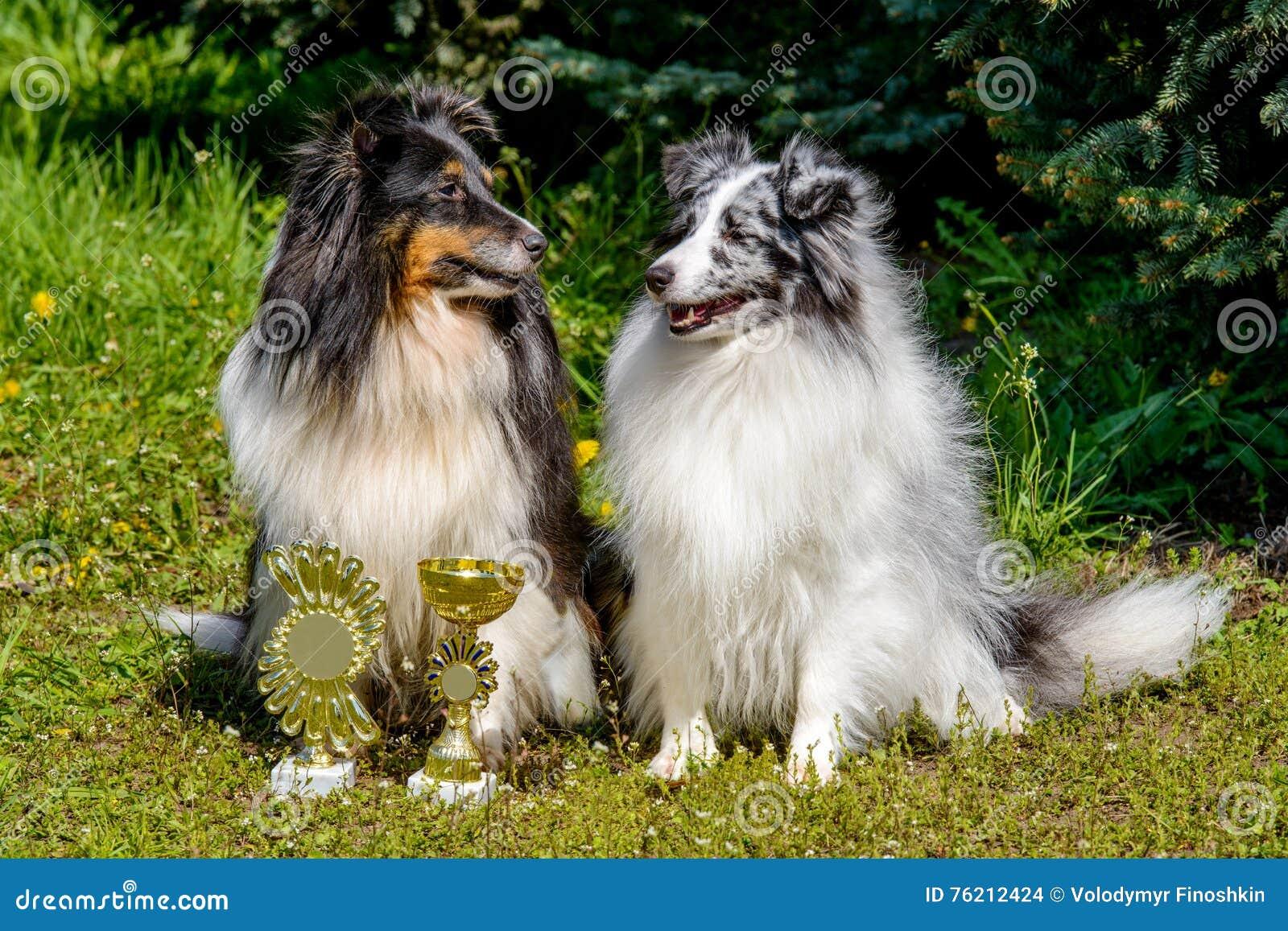 两只设德蓝群岛牧羊犬