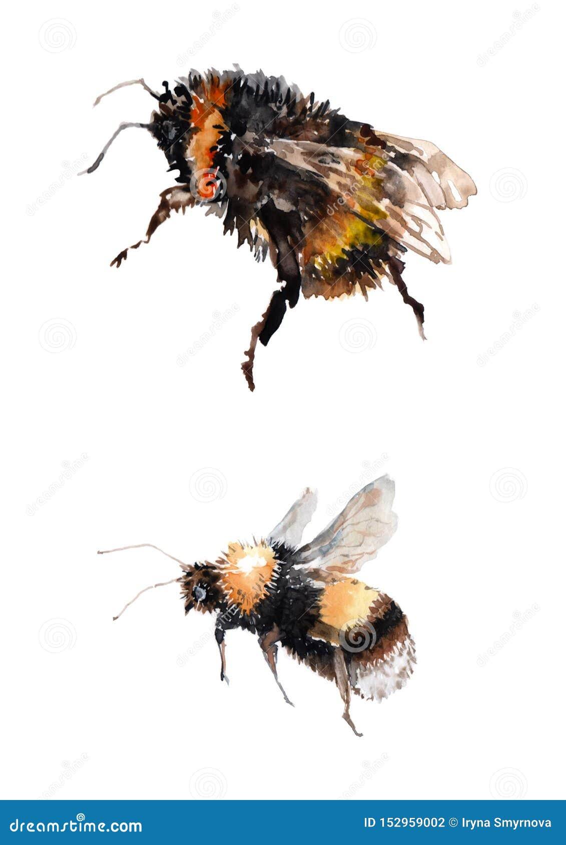两只飞行的土蜂 在白色背景的水彩