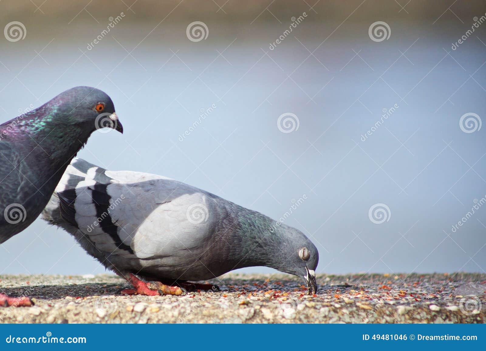 话剧鸽鸽子鸟鸟类1300_957青蛙王子动物值得看图片