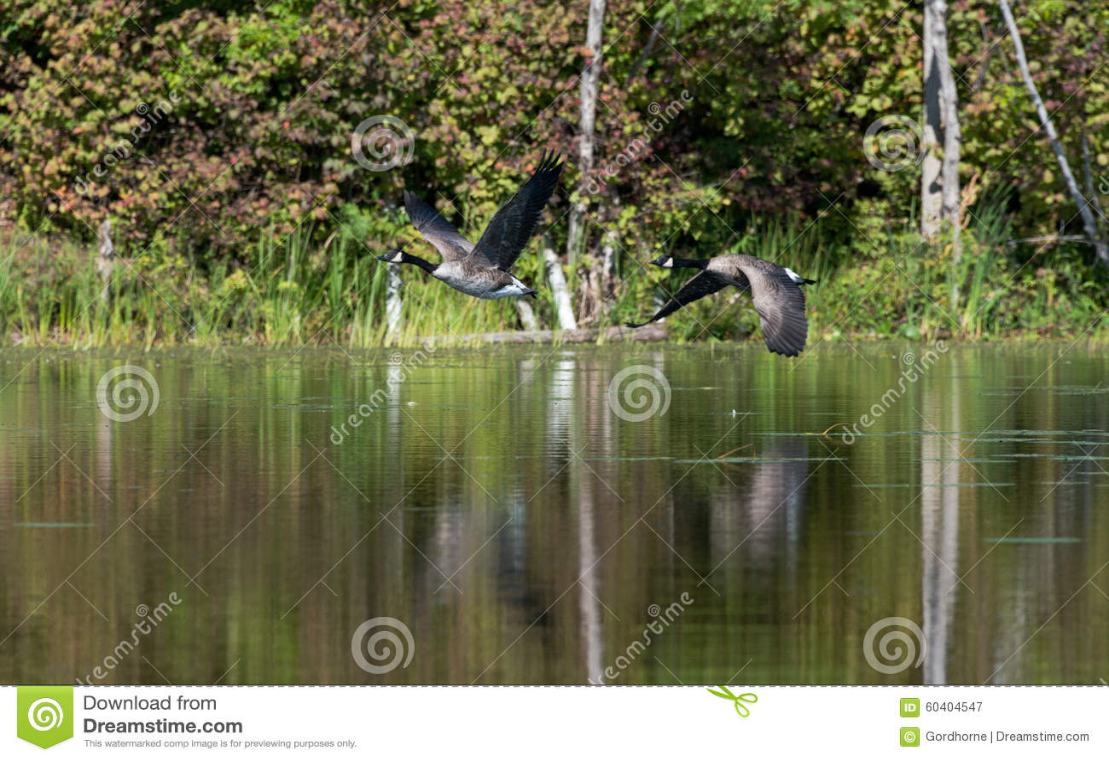 两只鹅横跨平静的湖飞行