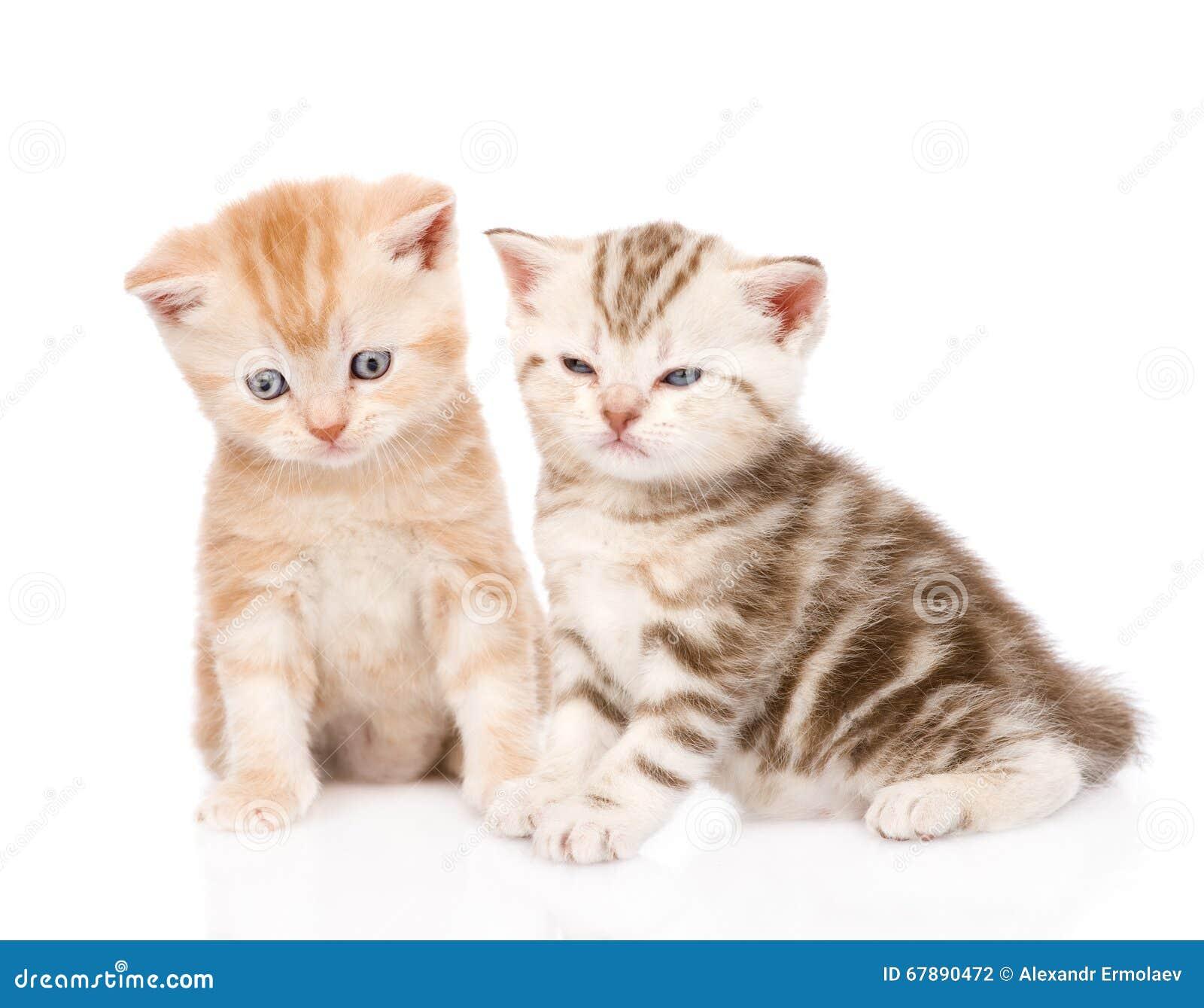 两只滑稽的平纹小猫 背景查出的白色