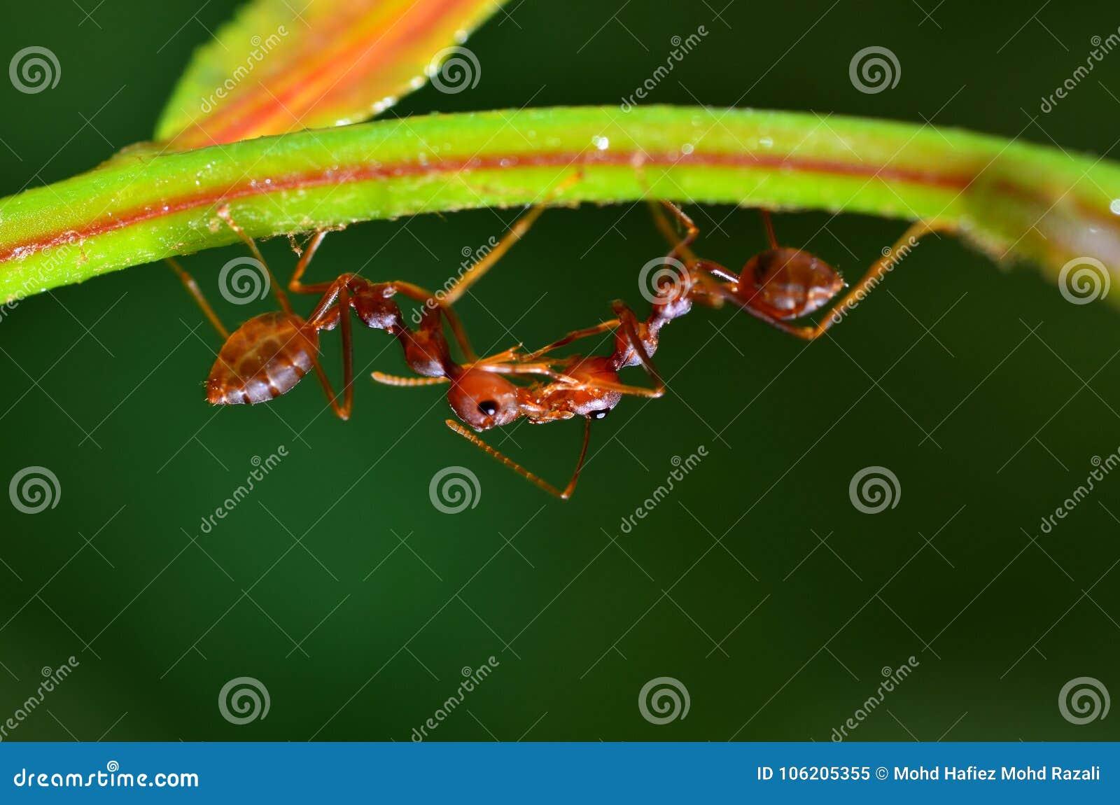 两垂悬在叶子的火蚂蚁火蚁一起接触