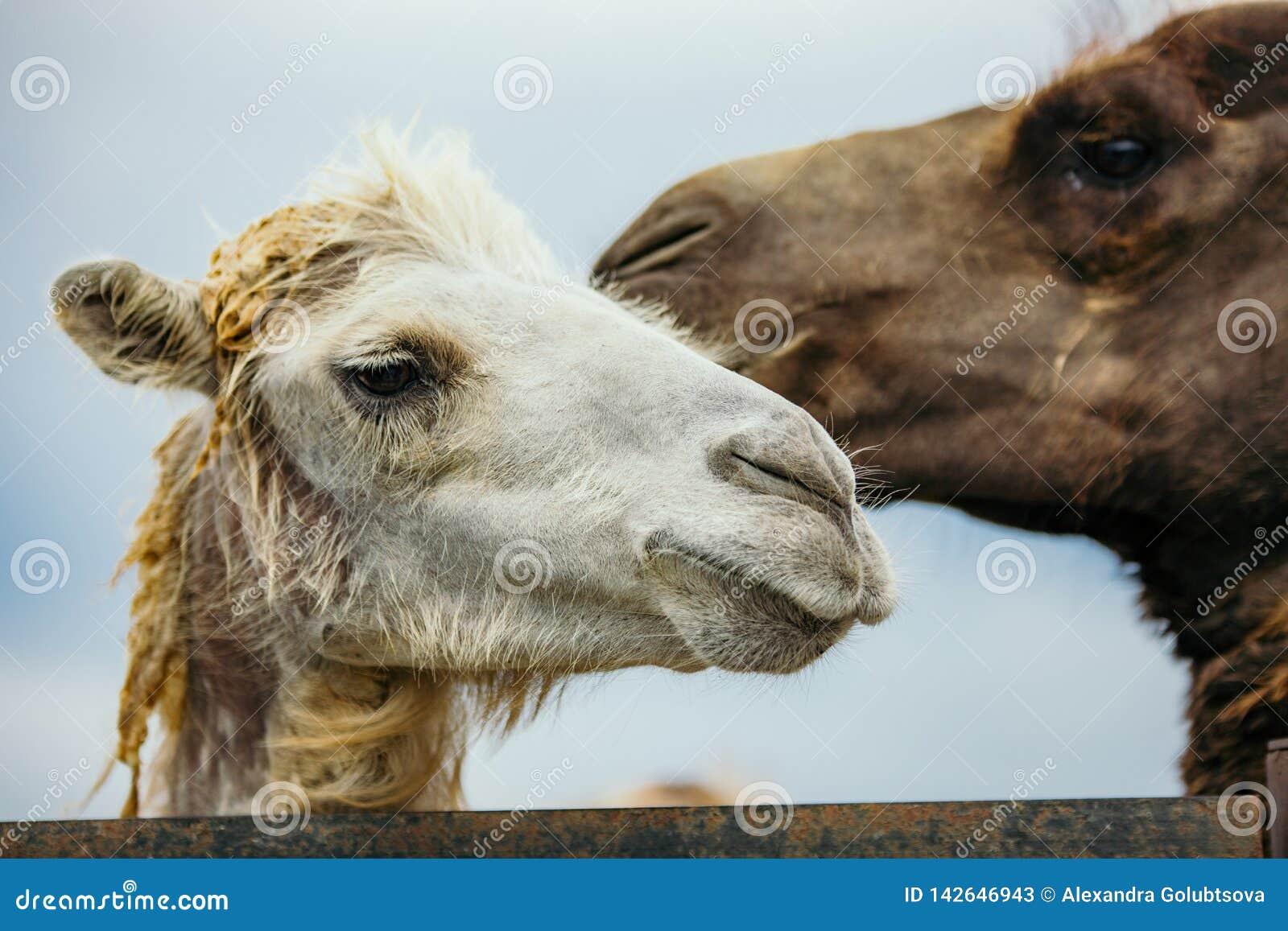 两头骆驼画象