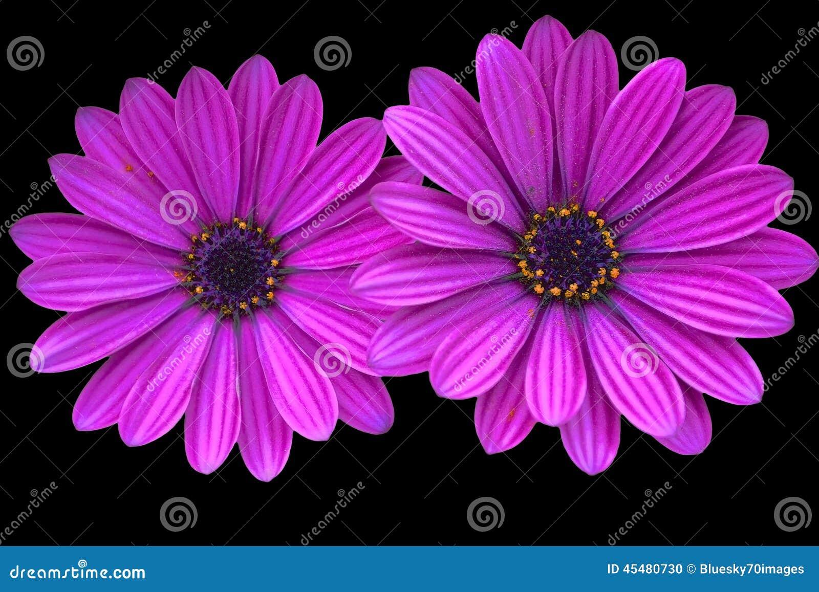 两朵紫色雏菊