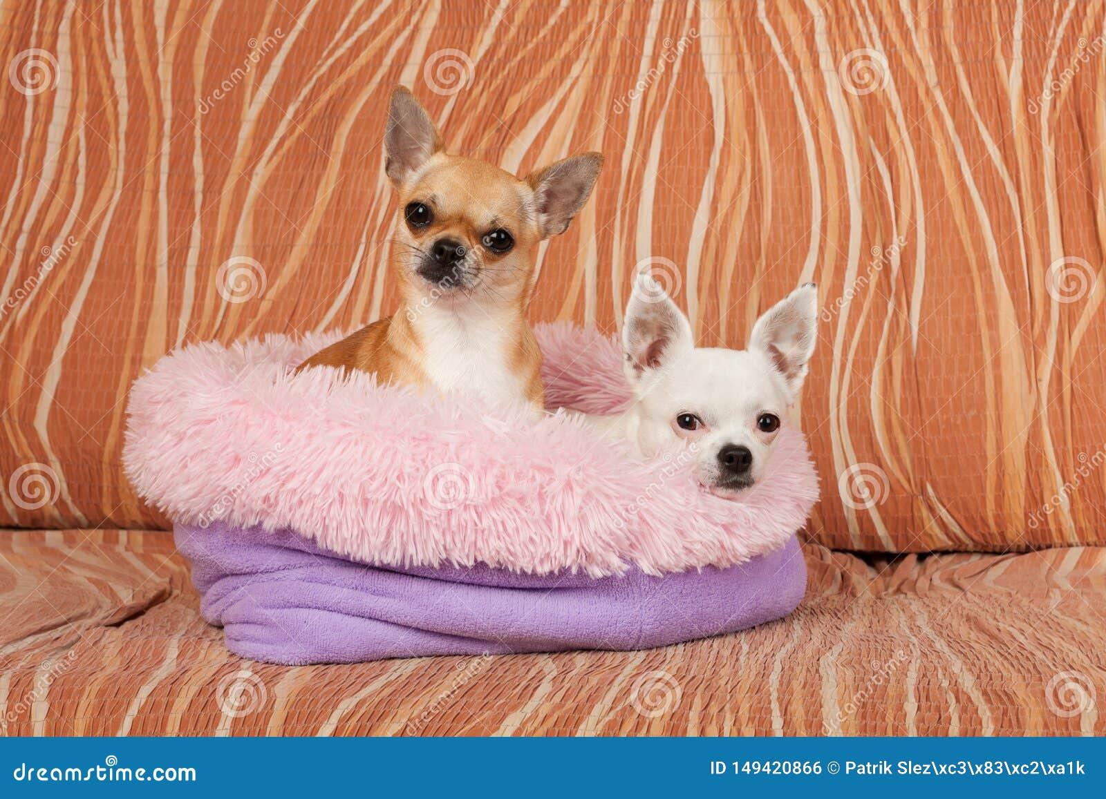 两条奇瓦瓦狗狗在从空心纤维的软的狗床上说谎在沙发