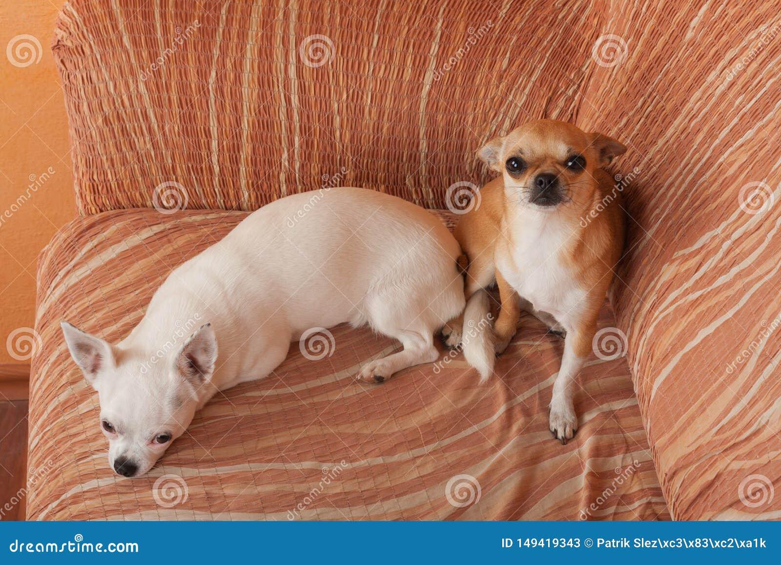 两条奇瓦瓦狗狗在沙发、2,5岁桂香女性和5岁说谎白女性